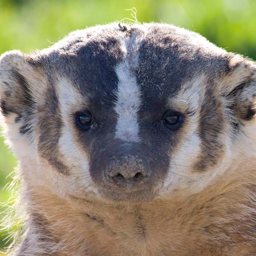 State animal the Badger.