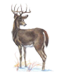 The Wisconsin State wildlife animal is the white-tailed deer.