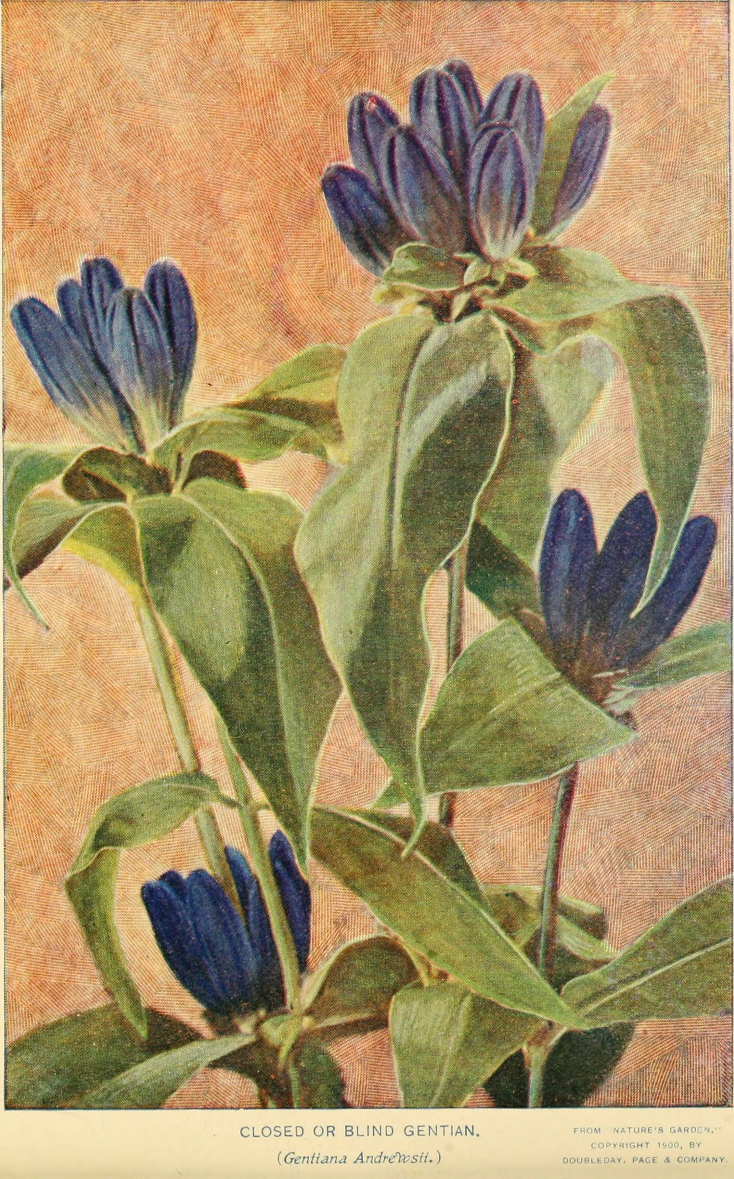 Closed Gentian botanical illustration circa 1900.