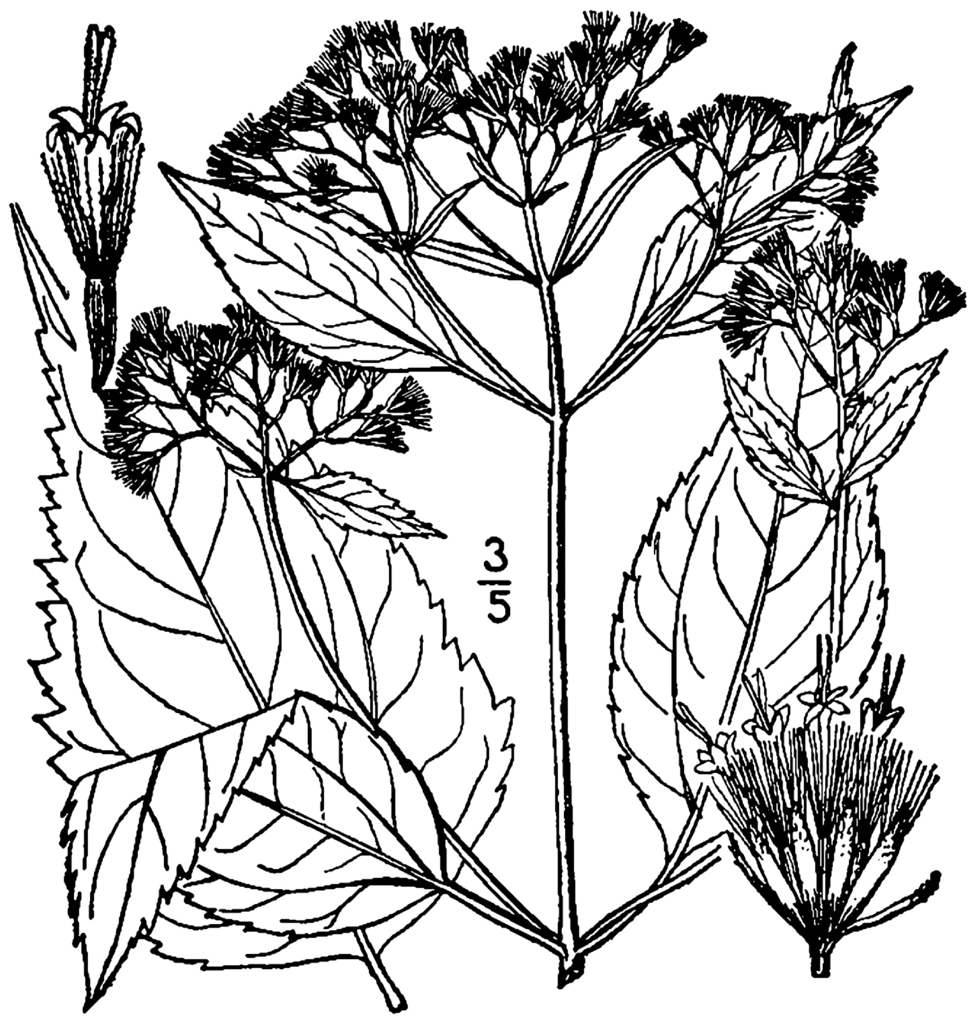 1913 White Snakeroot illustration.