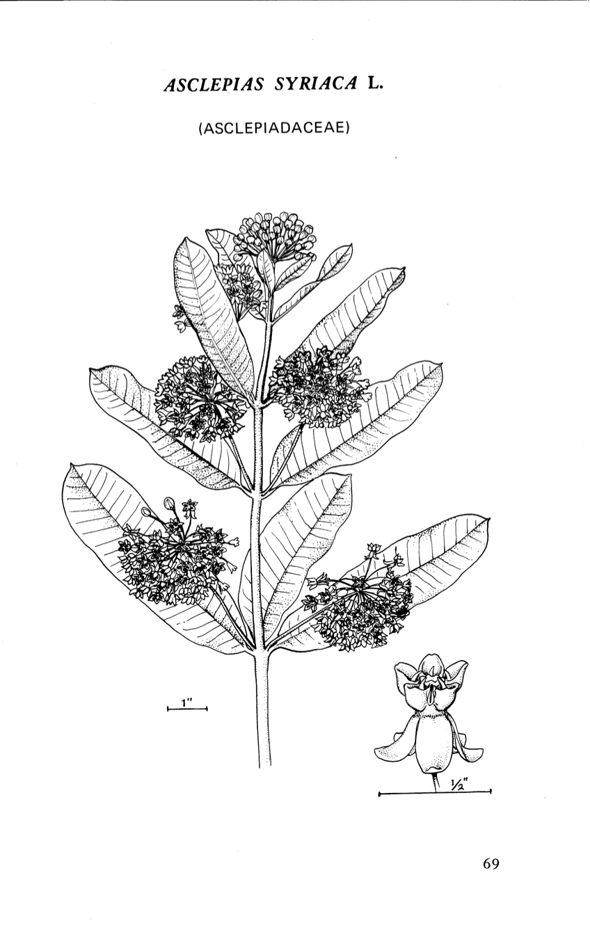 1969 Common Milkweed illustration.