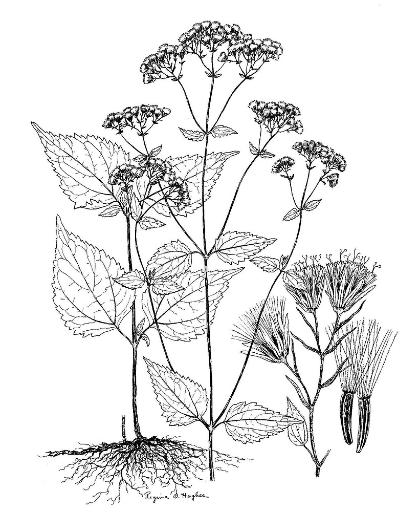 1970 White Snakeroot illustration.