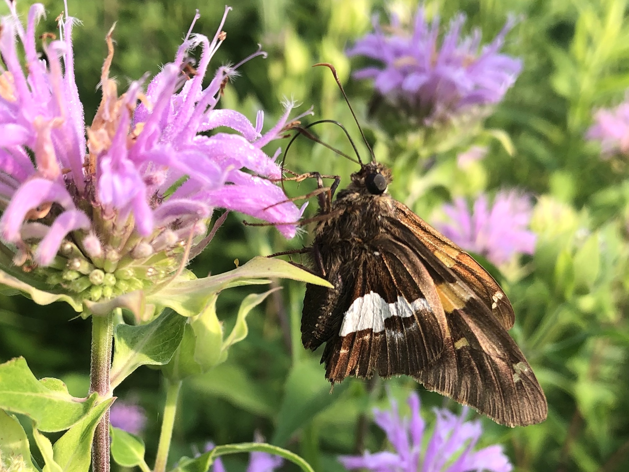 Silver Spotted Skipper on Bergamot on July 9, 2020.