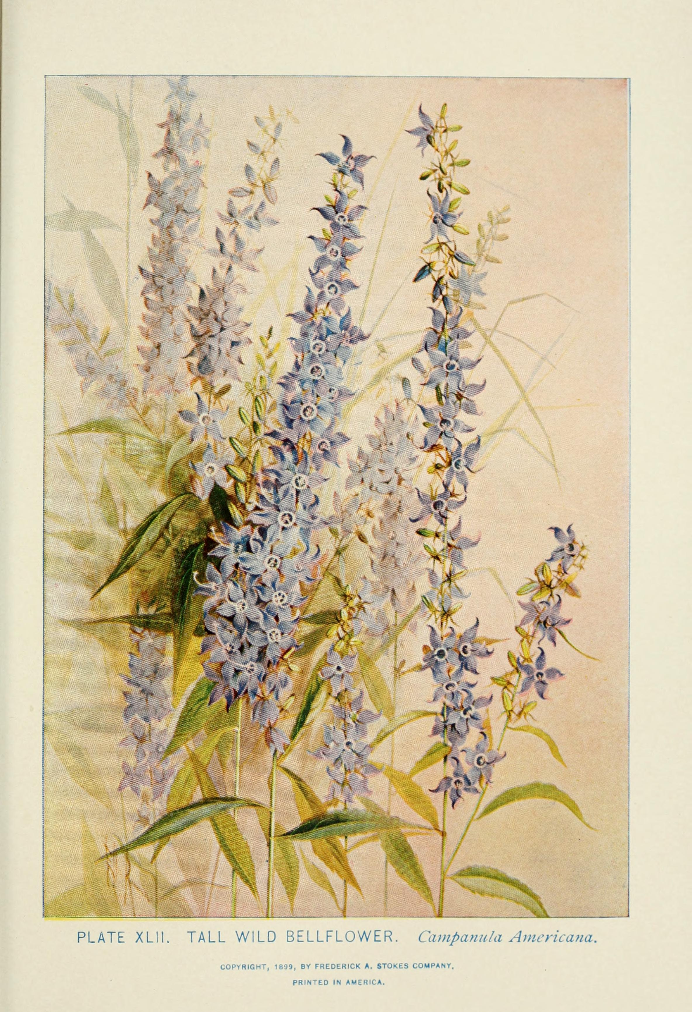 American Bellflower illustration by Alice Lounsberry circa 1899.
