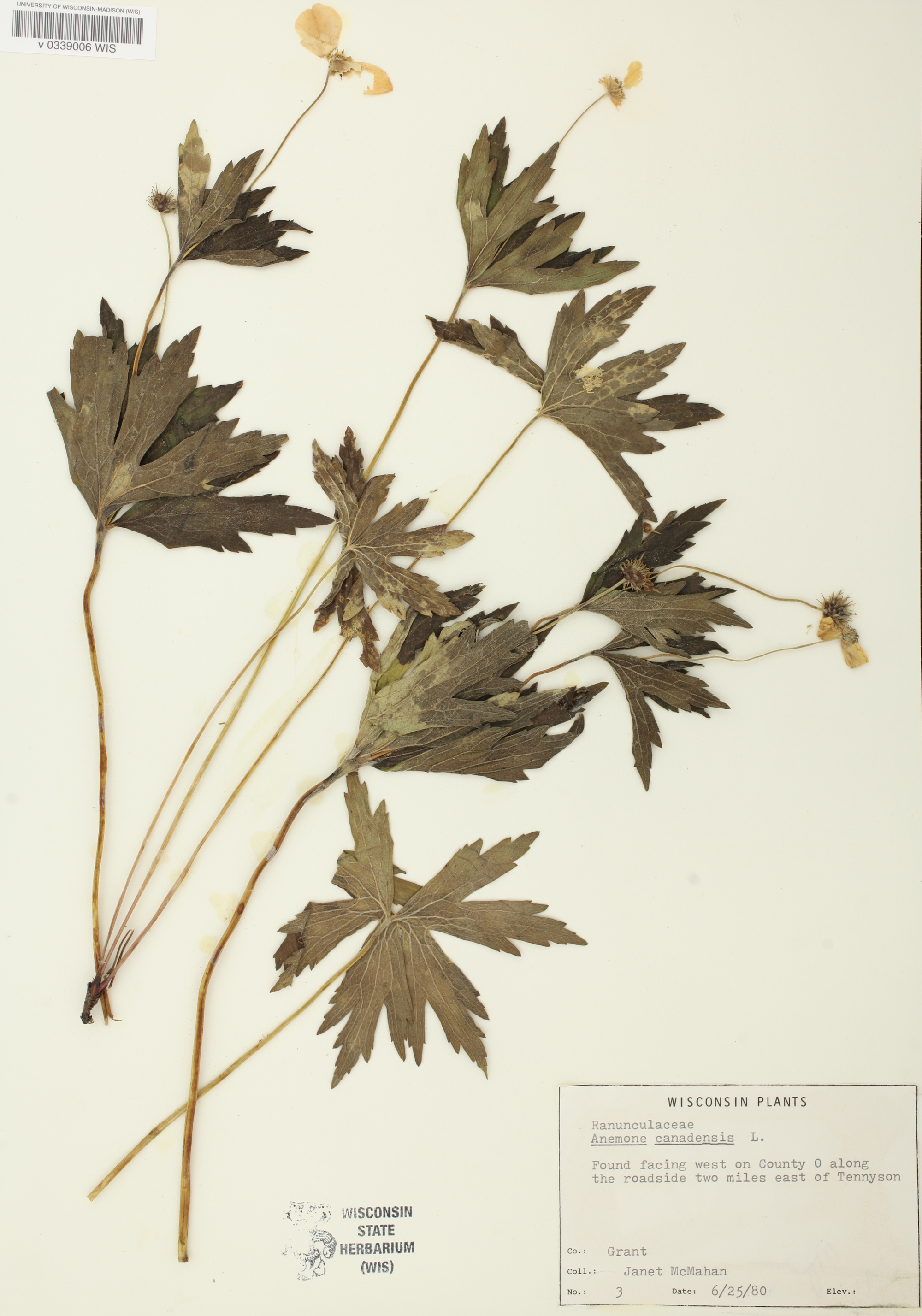 Specimen photo of Anemone canadensis that was collected two miles east of Tenneyson, Wisconsin.