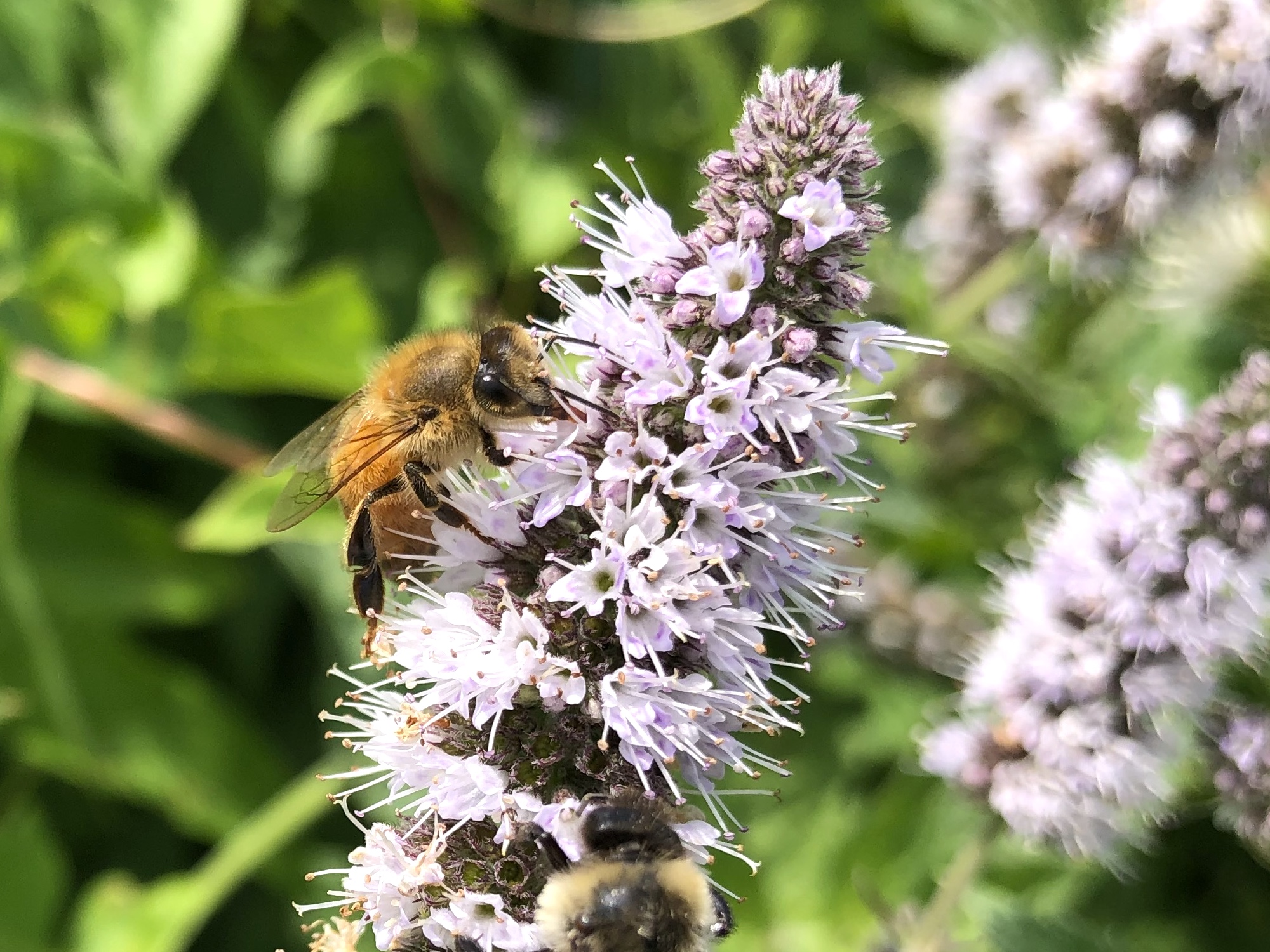 Bee on Spearmint on shore of Lake Wingra on August 22, 2020.