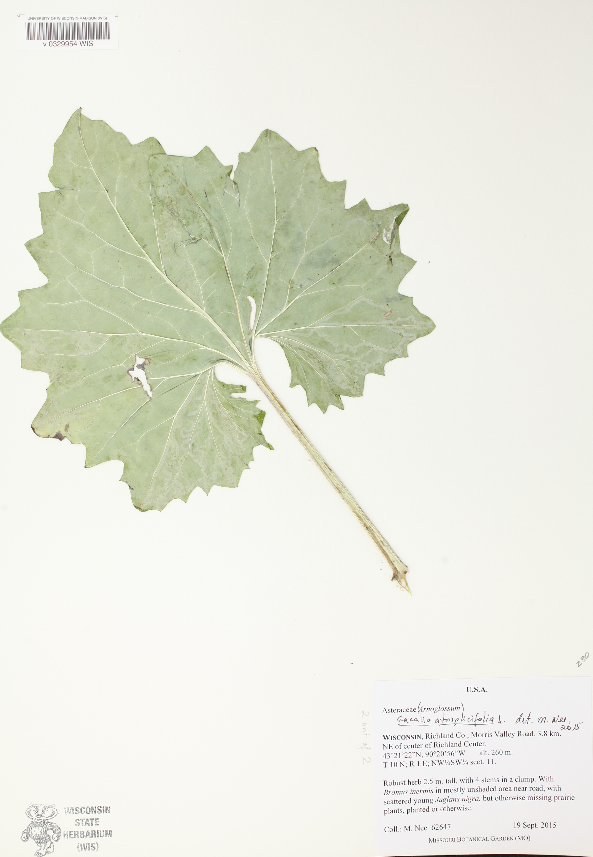 Pale Indian Plantain leaf specimen collected in Richland County on September 19, 2015.