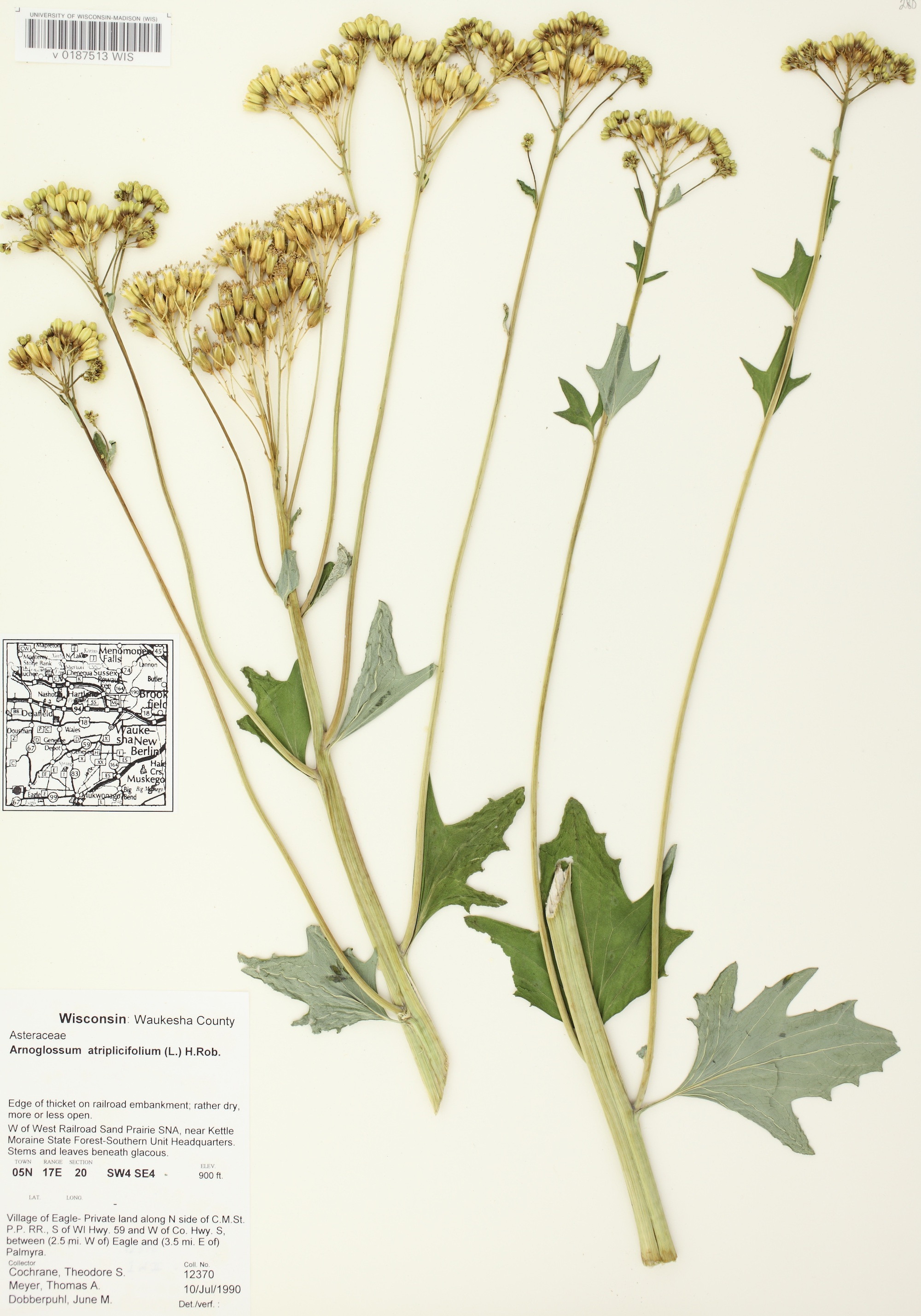 Pale Indian Plantain specimen collected in Waukesha County on July 10, 1990.