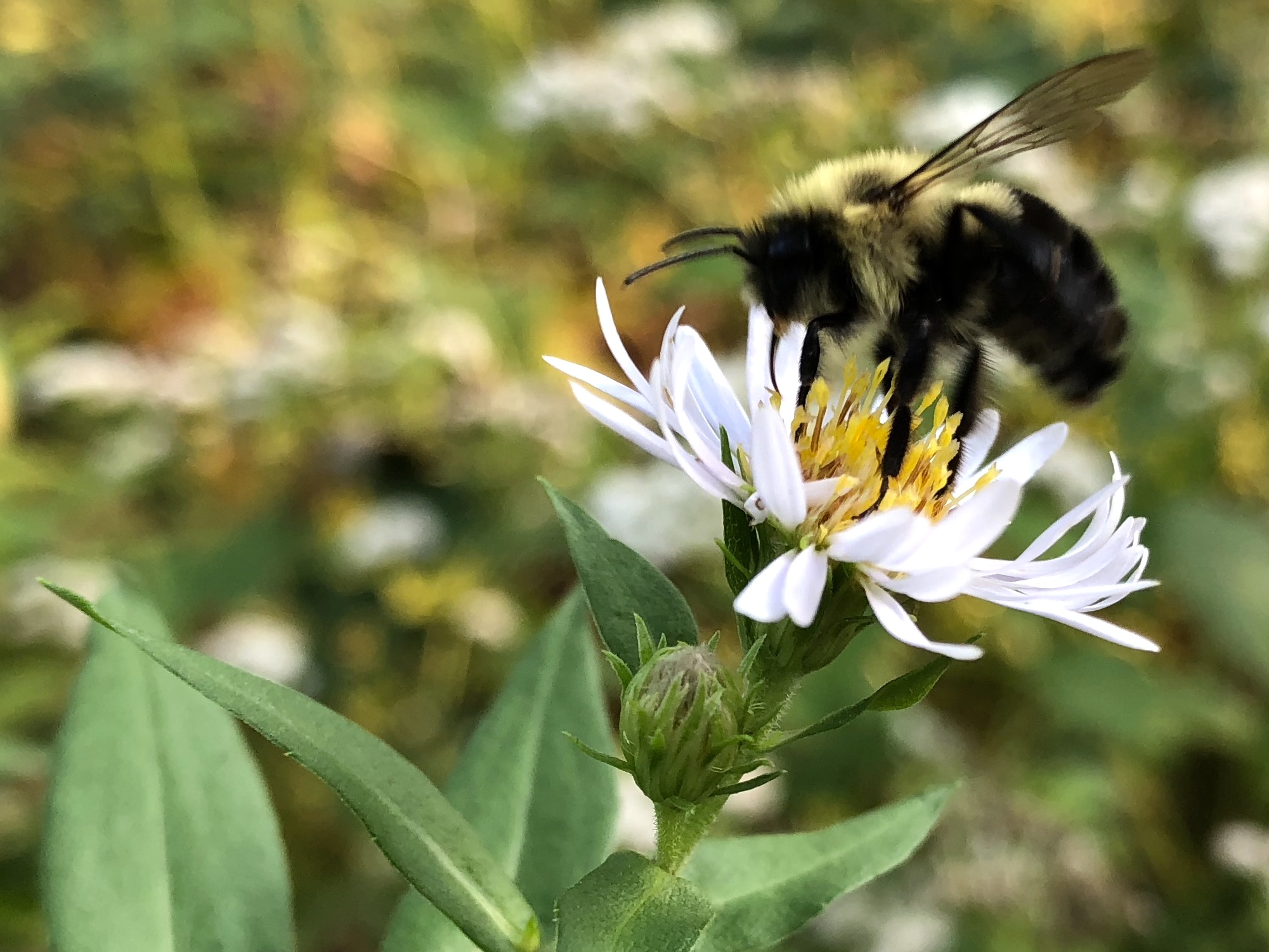 Bumblebee on Aster on September 20, 2018.