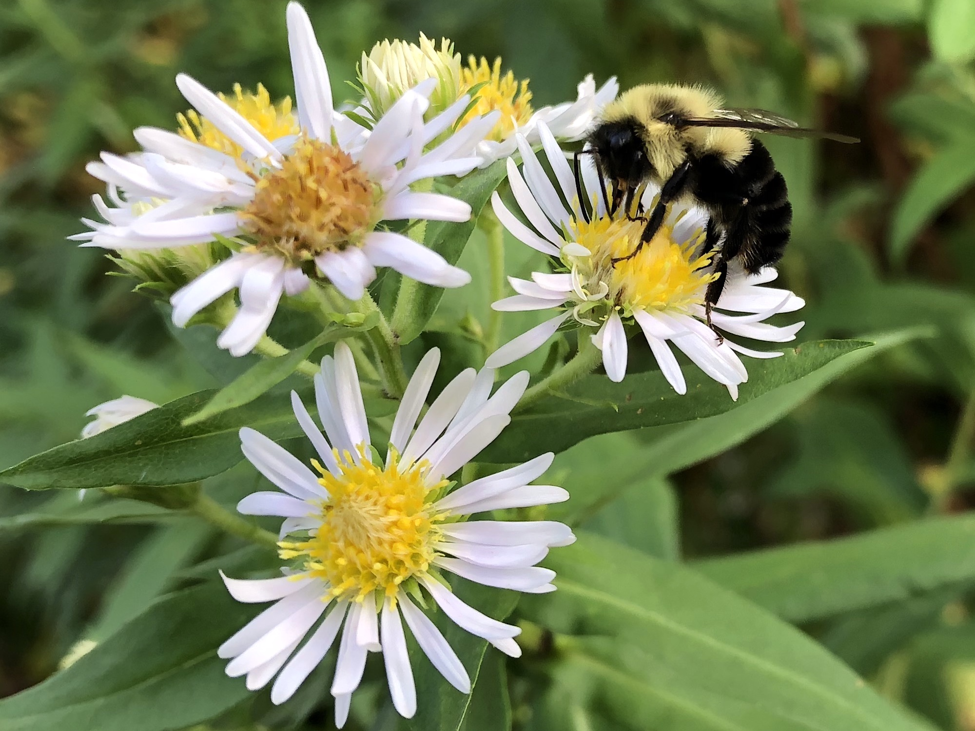 Bumblebee on Aster on August 20, 2018.