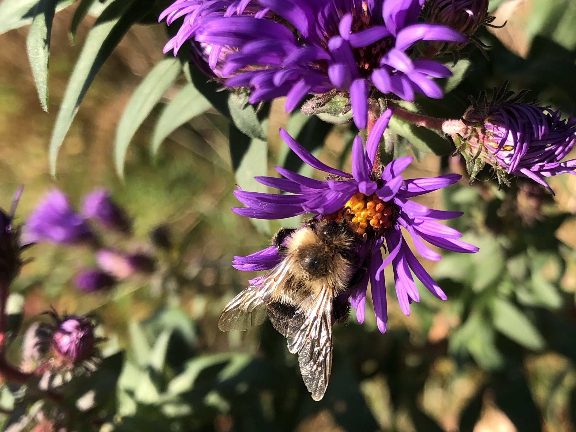 Bumblebee on aster on October 5, 2020.