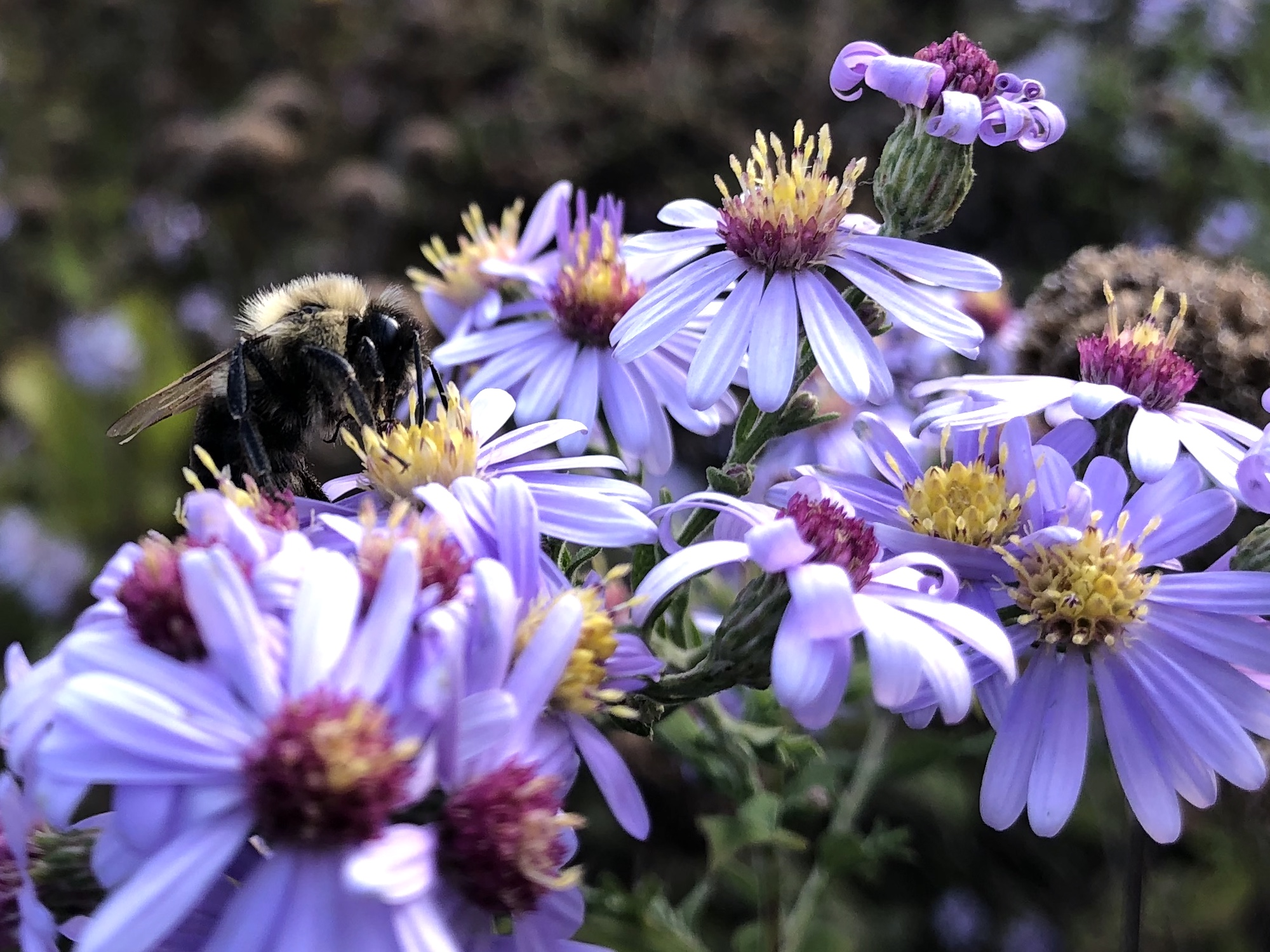 Bumblebee on aster on bank of retaining pond on October 6, 2020.