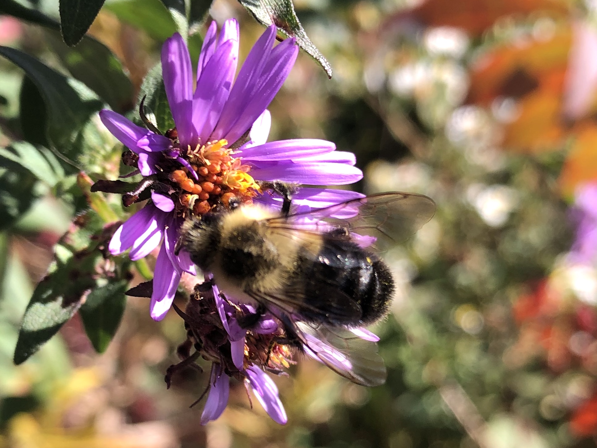Bumblebee on aster on October 7, 2020.