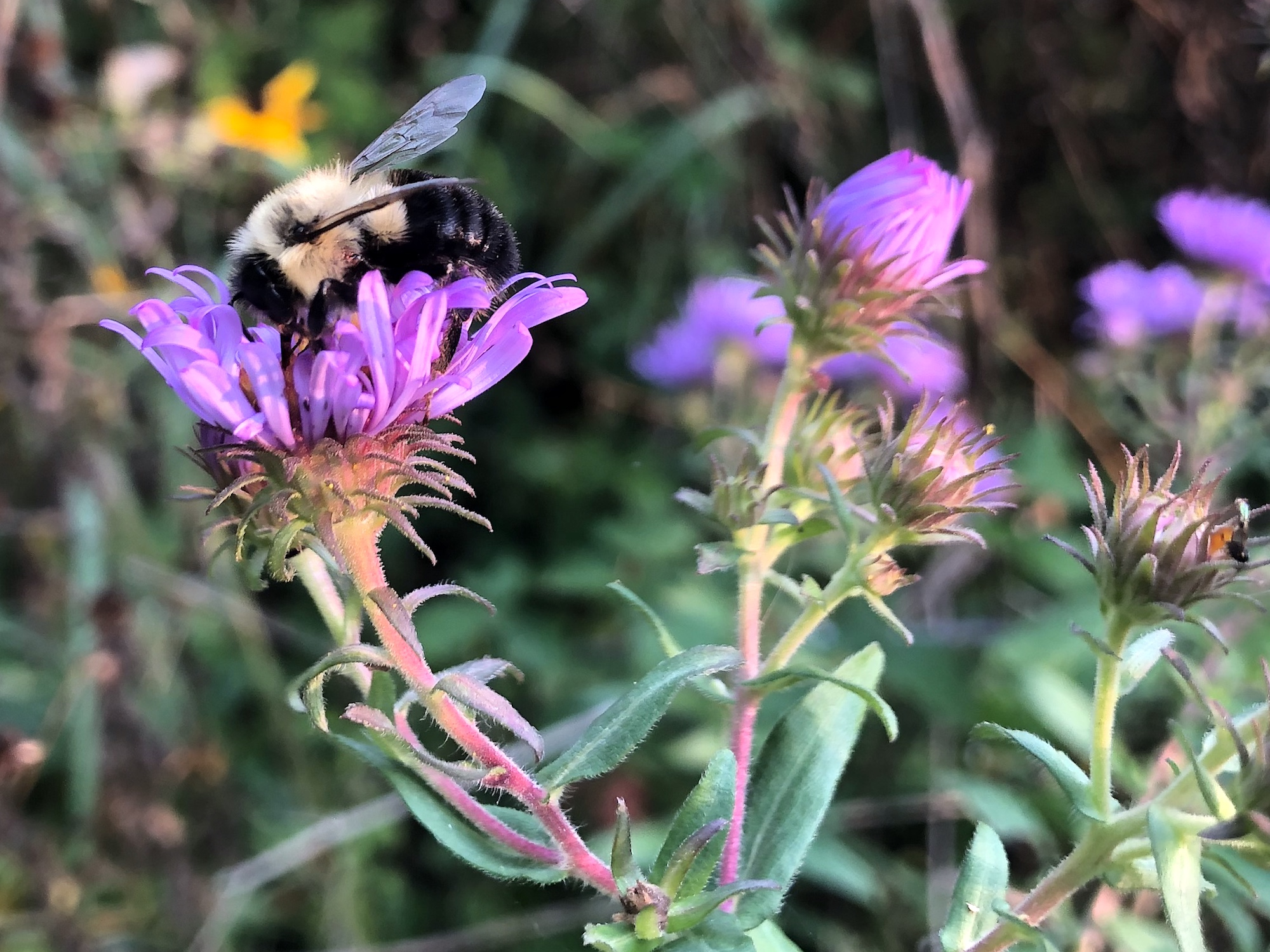 Bumblebee on Aster on September 16, 2020.