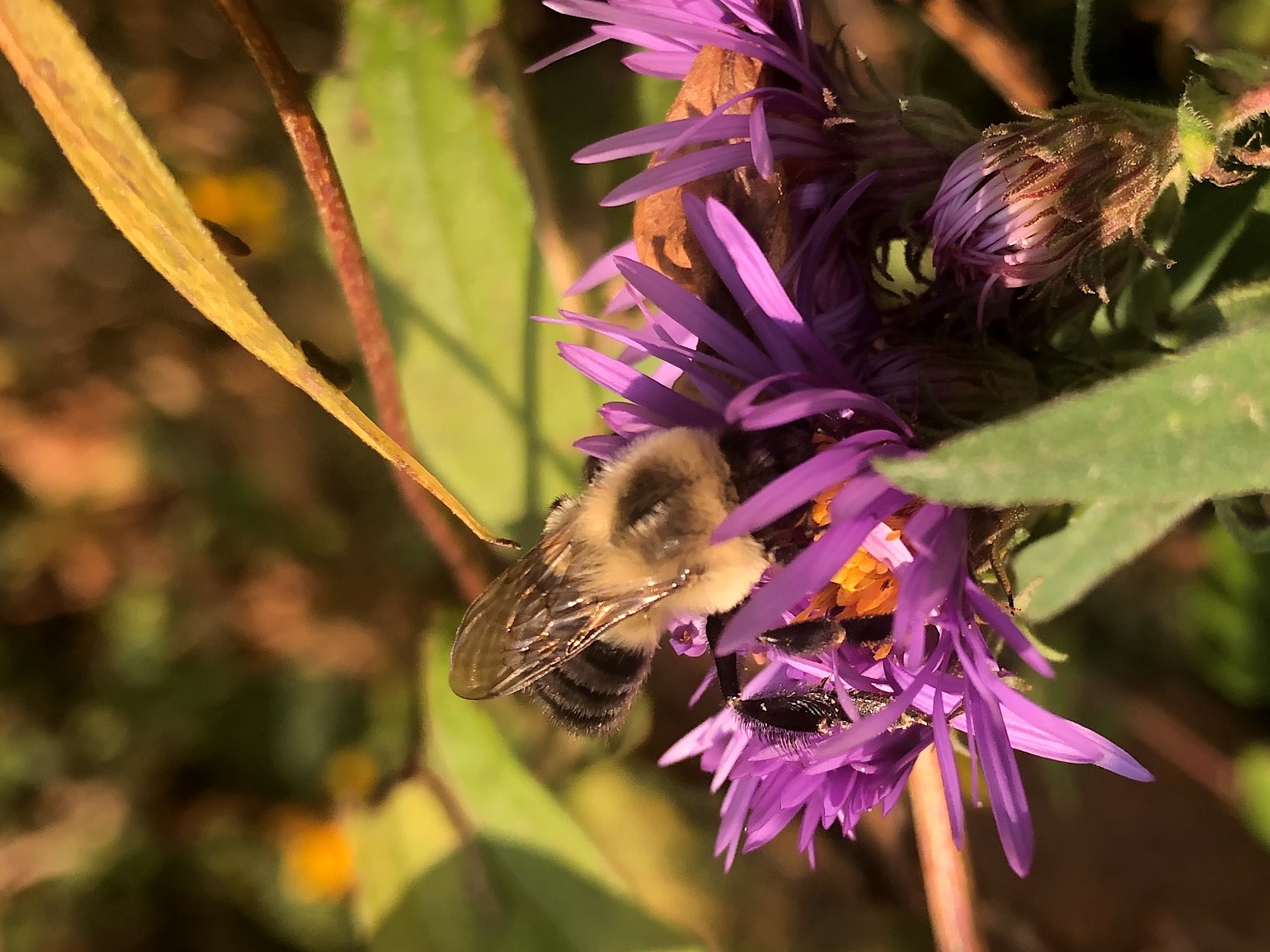 Bumblebee on Aster on September 25, 2020.