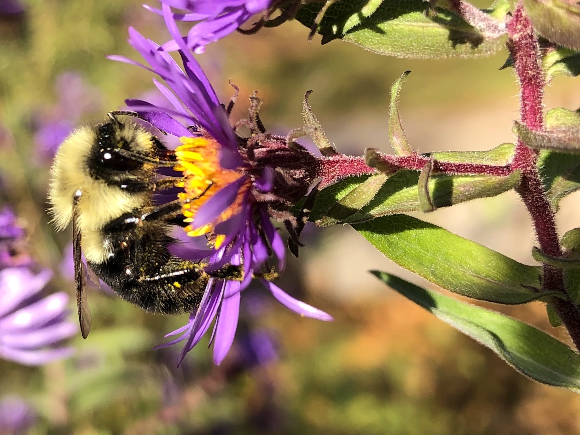 Bumblebee on aster on October 21, 2020.