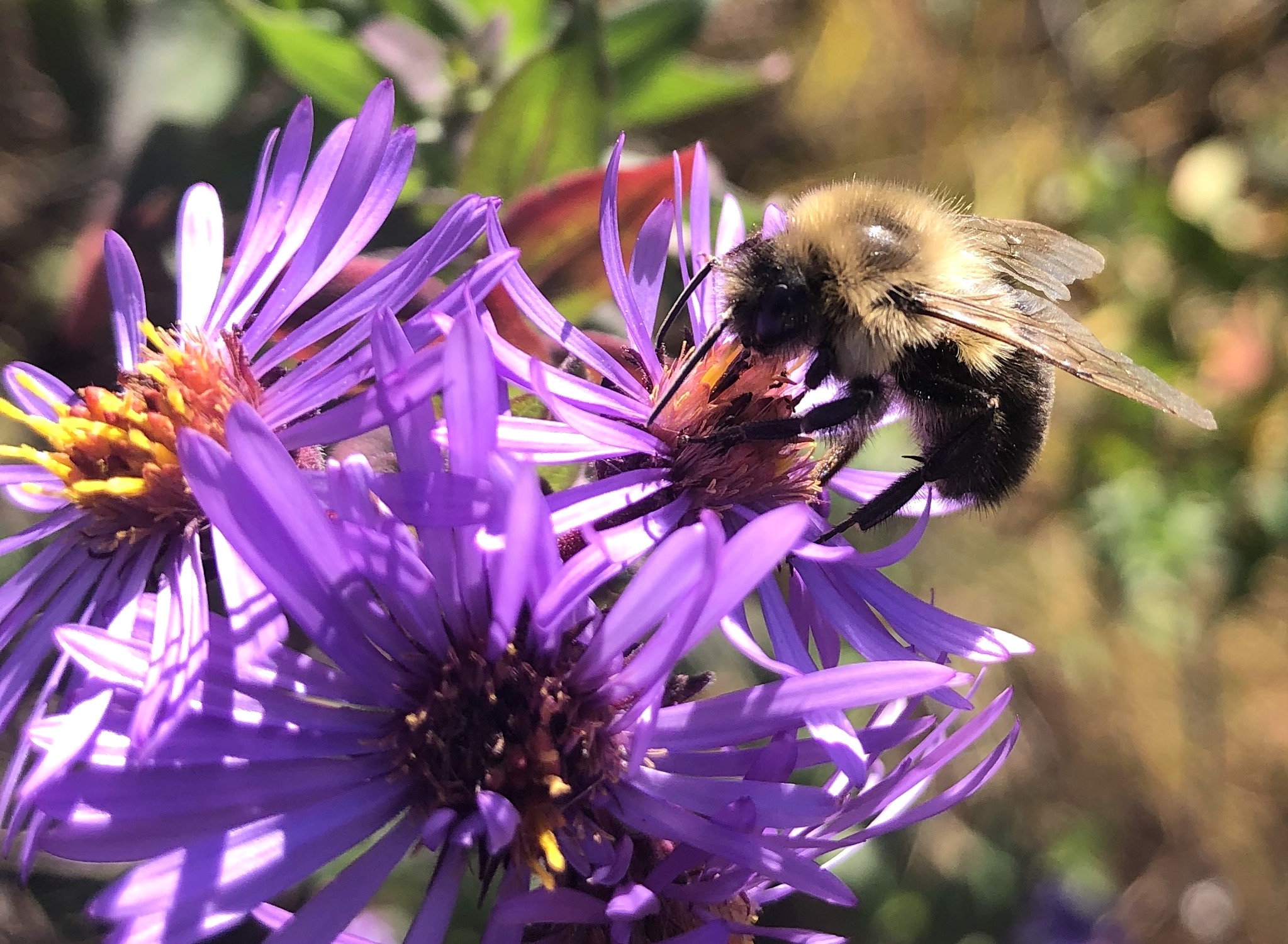 Bumblebee on aster on October 13, 2020.
