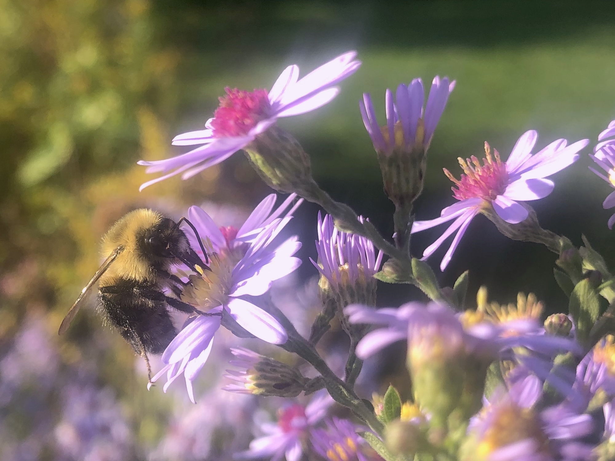 Bumblebee on Aster on September 30, 2020.