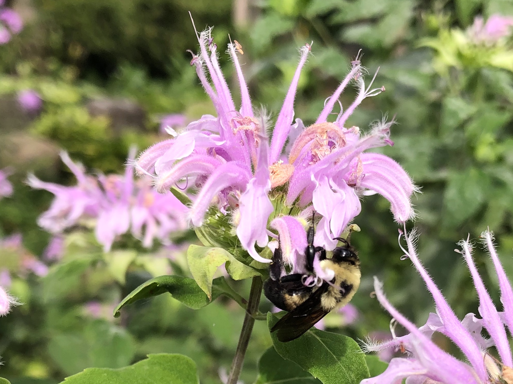 Bumblebee on Bergamot on August 22, 2020.