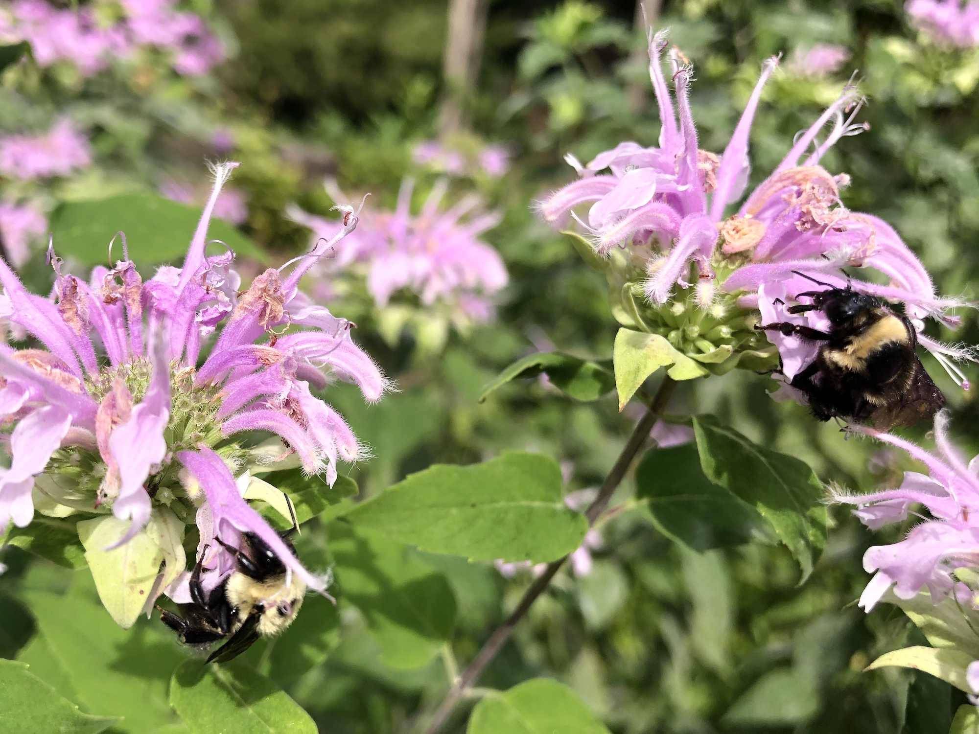 Bumblebees on Bergamot on August 22, 2020.