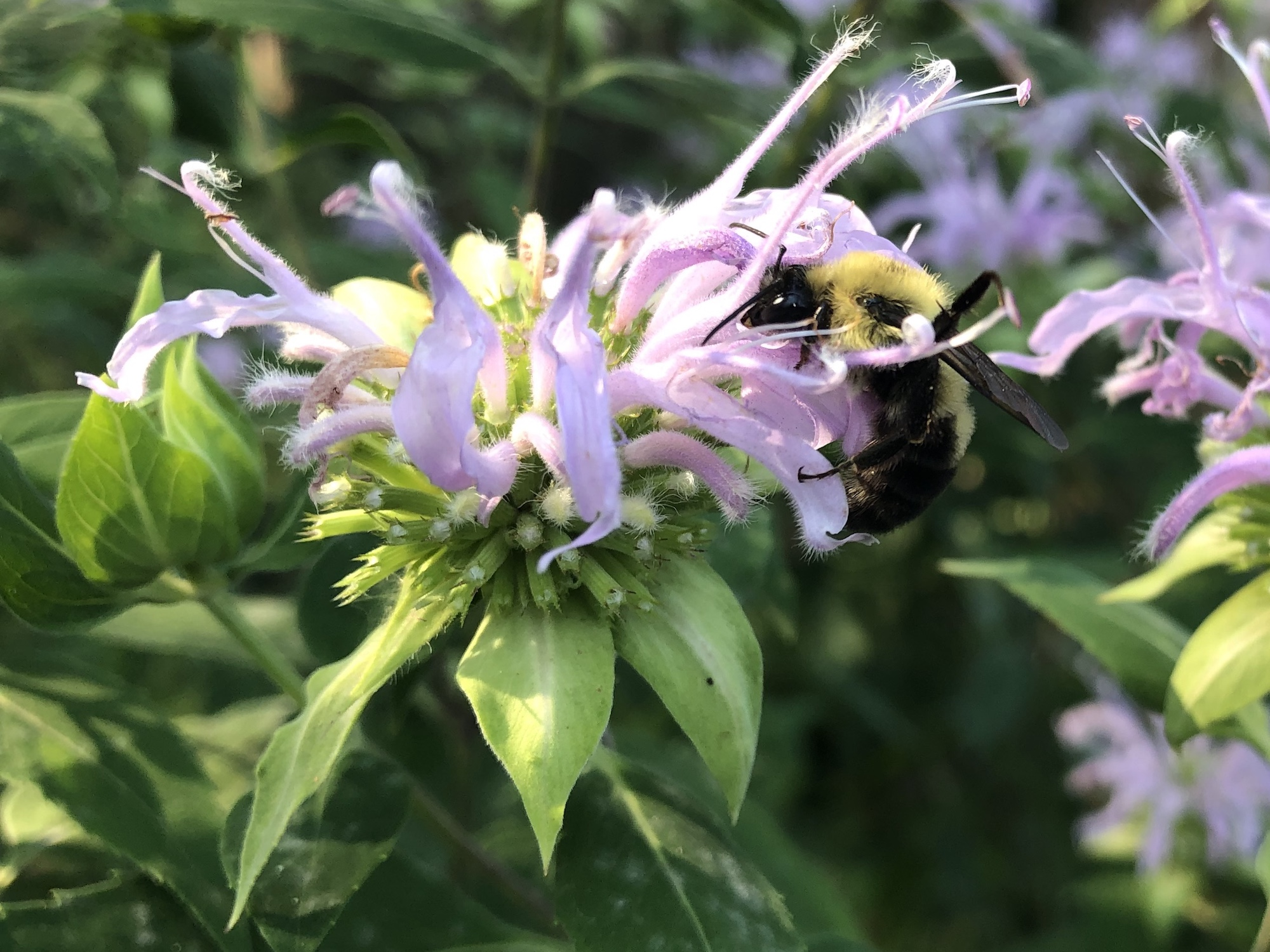 Bumblebee on Bergamot on August 14, 2020.
