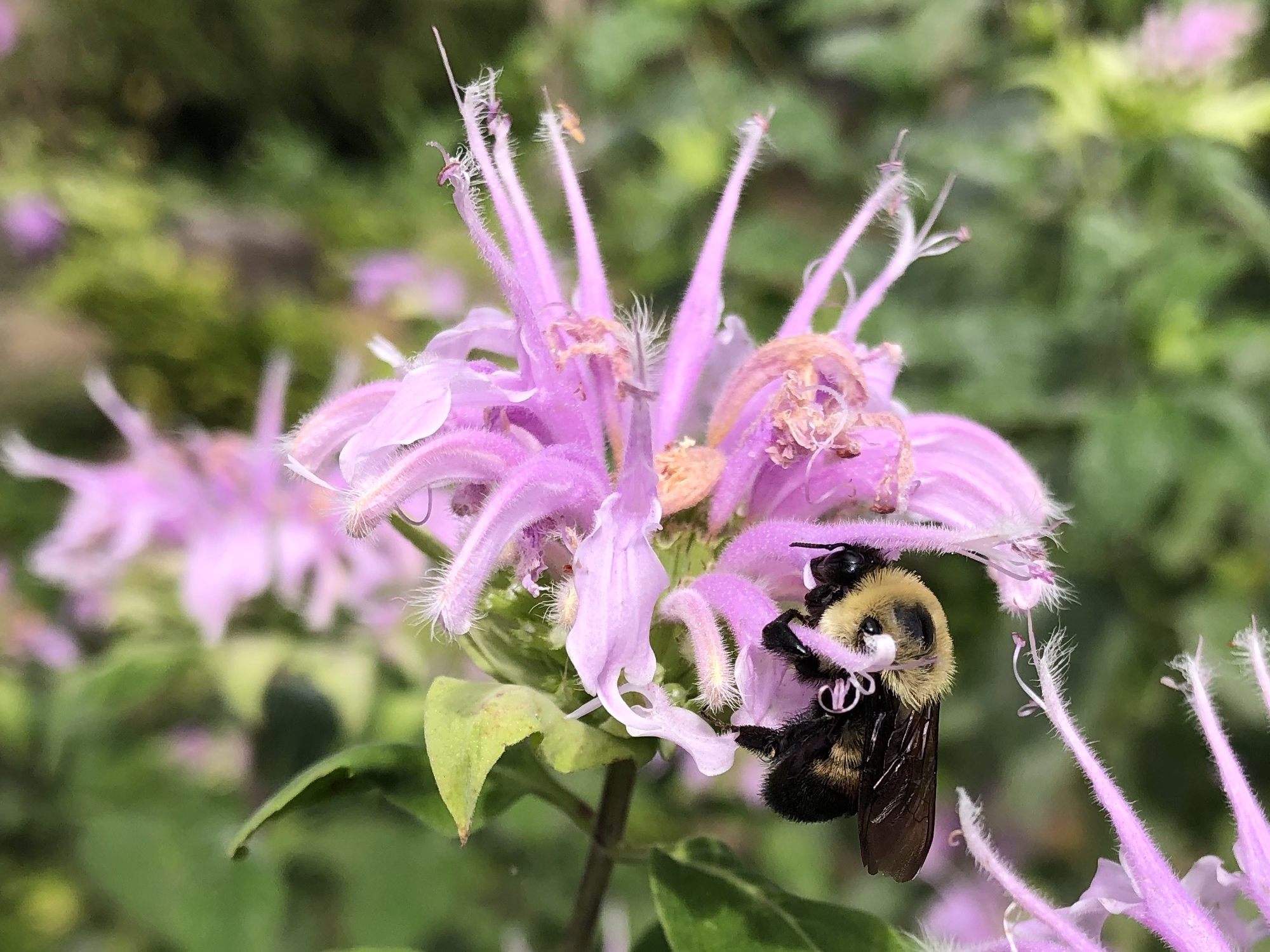 BBumblebee on Bergamot on August 22, 2020.