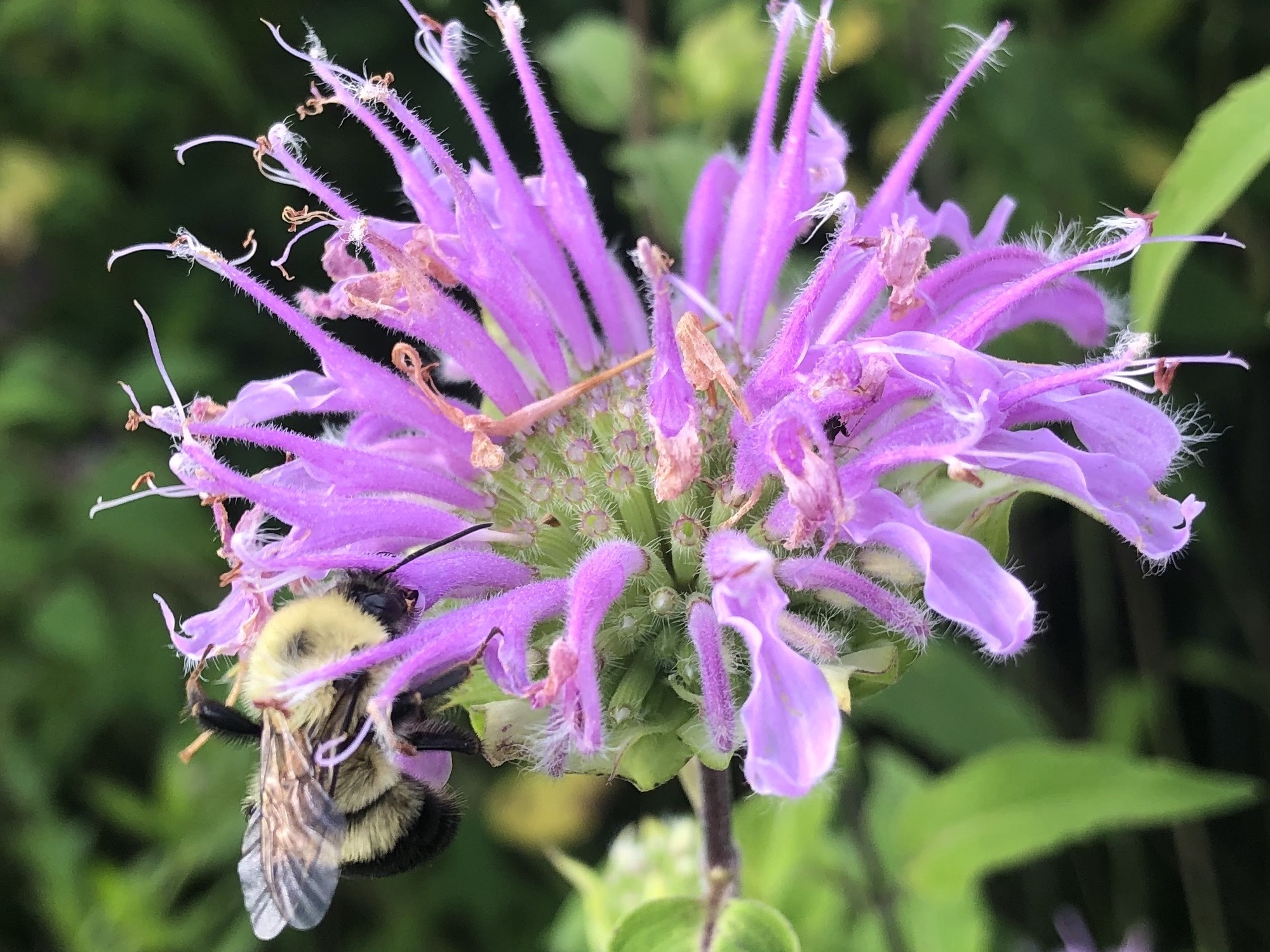 Bumblebee on Bergamot on July 11, 2020.
