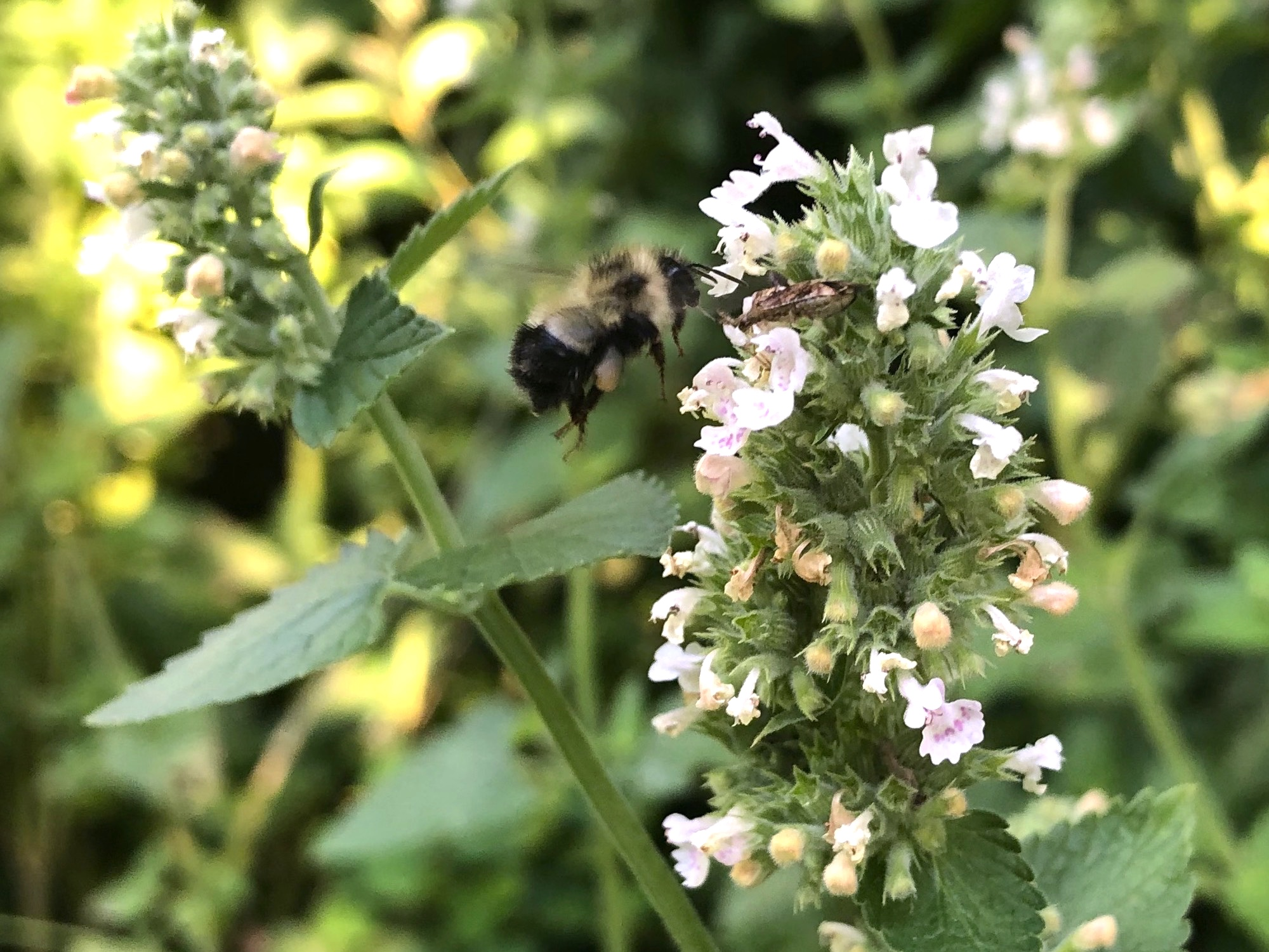 Bumblebee landing on Wild Catnip on July 19, 2020.