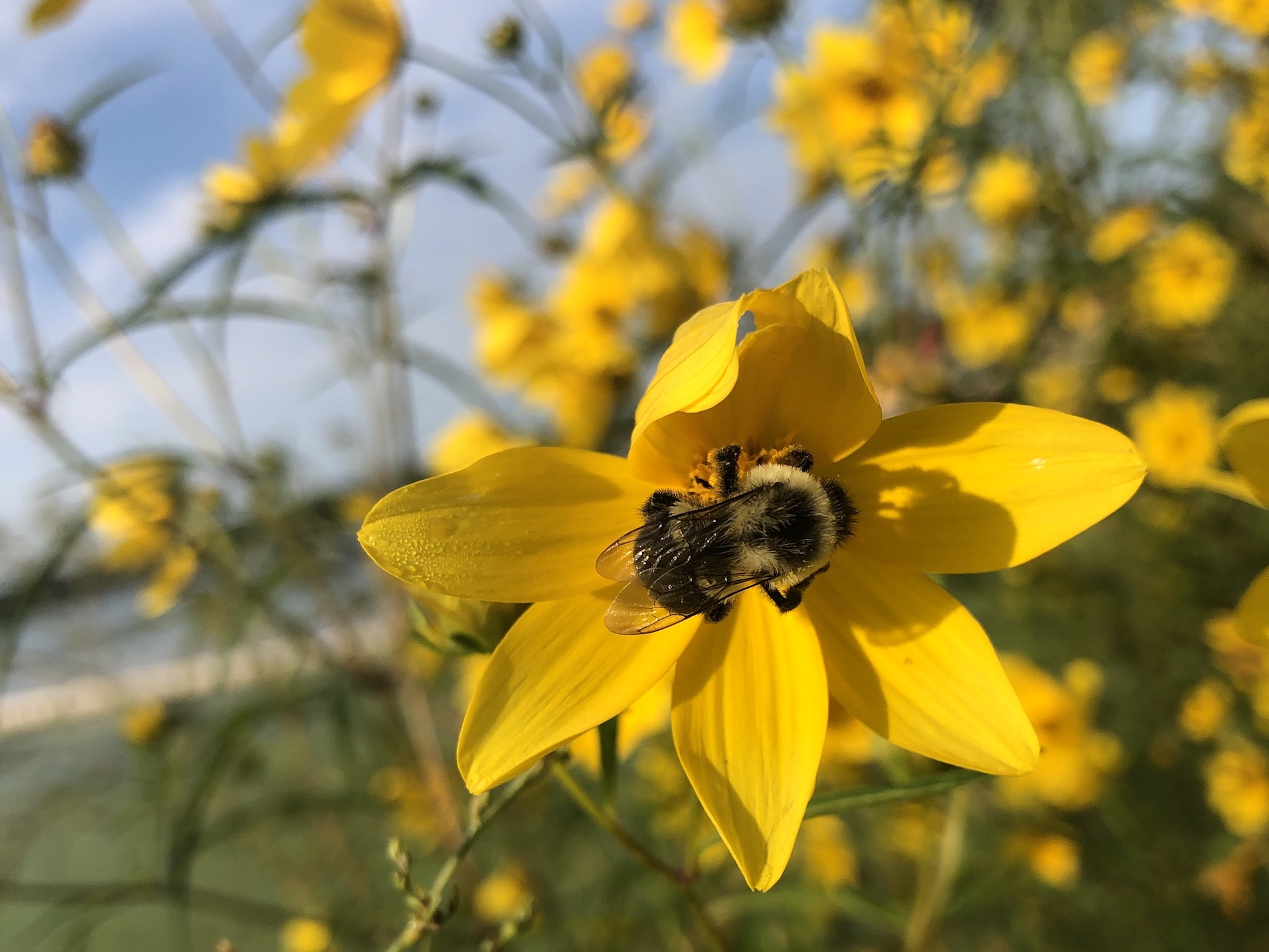 Bumblebee on Crowned Beggarticks on September 1, 2020.