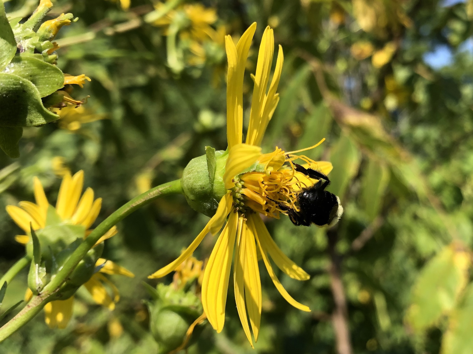Bumblebee on Cup Plant on bank of Marion Dunn Pond on August 14, 2020.