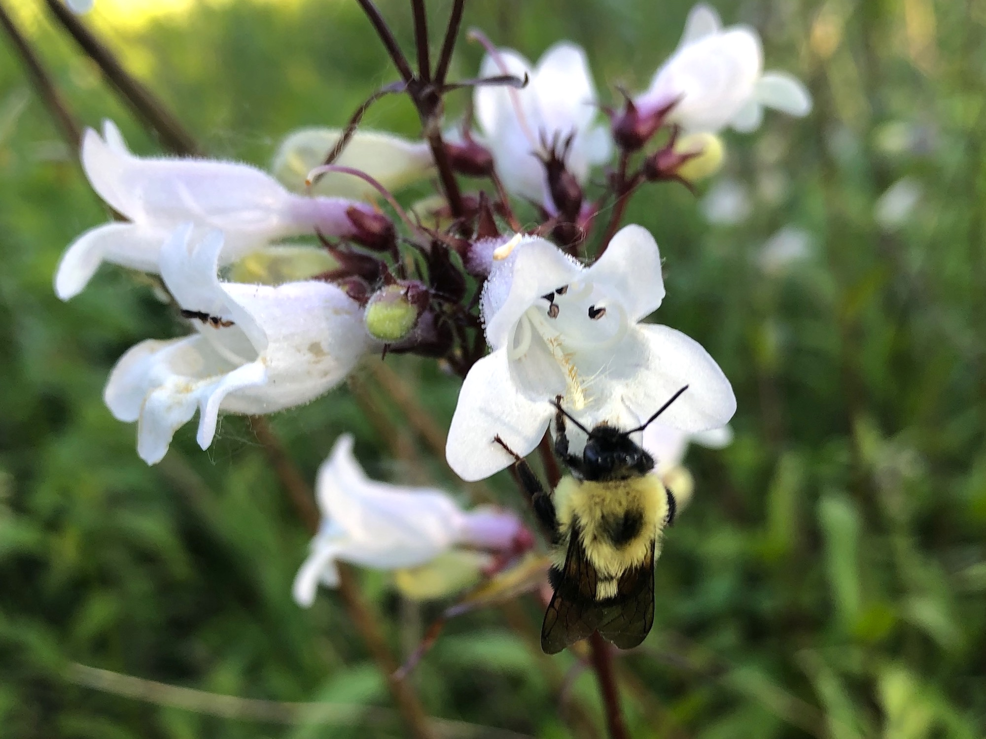 Bumblee on Foxglove Beardtongue on June 16, 2020.