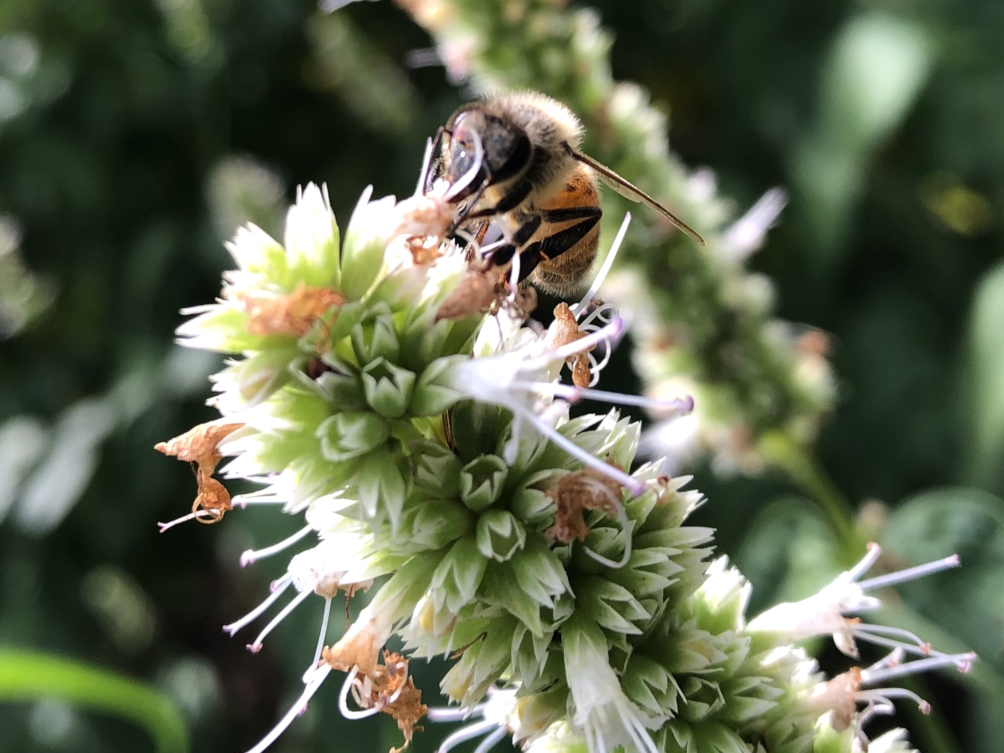 Bee on Giant Hyssop on August 22, 2020.