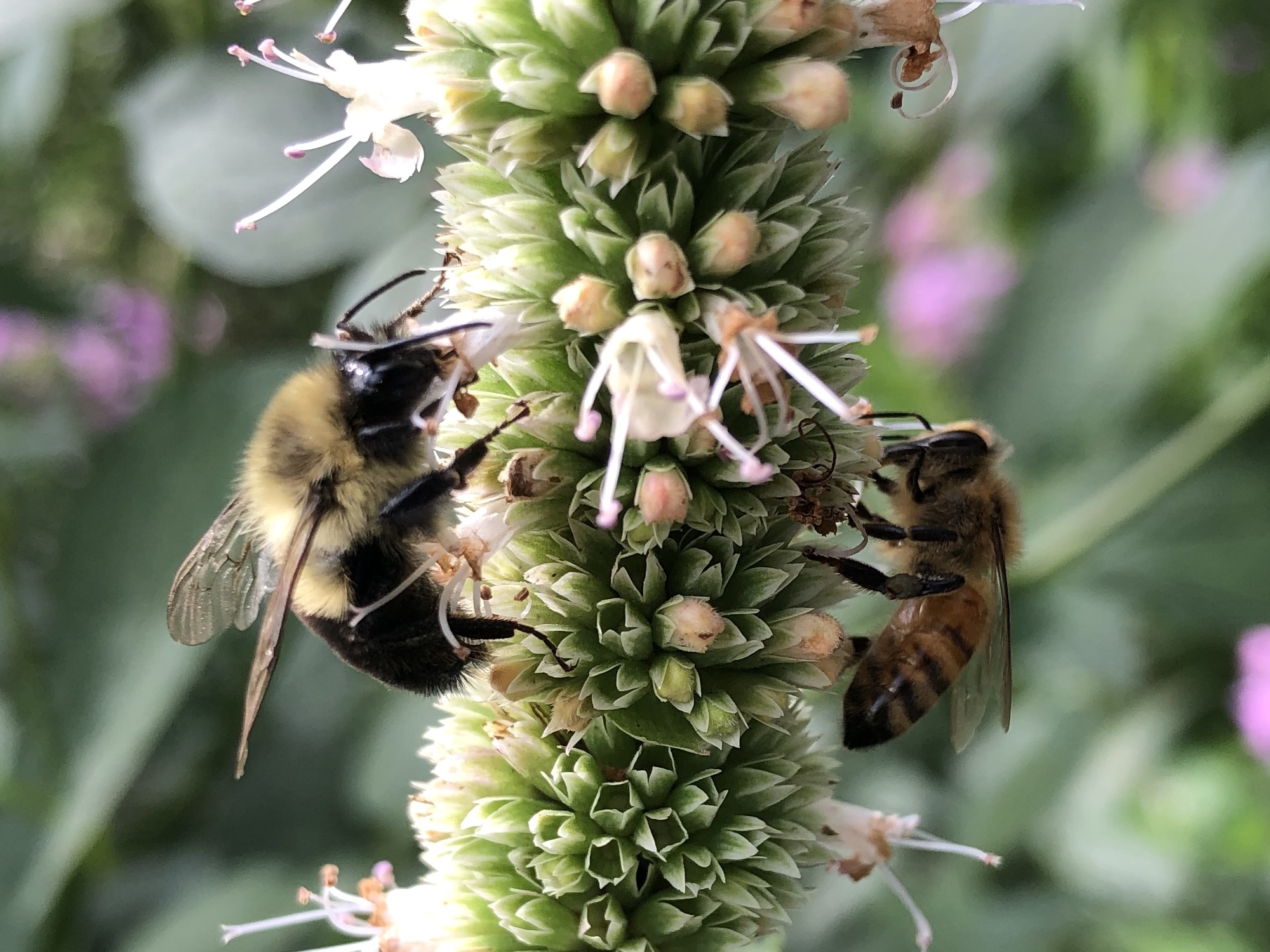 Bees on Giant Hyssop on August 22, 2020.