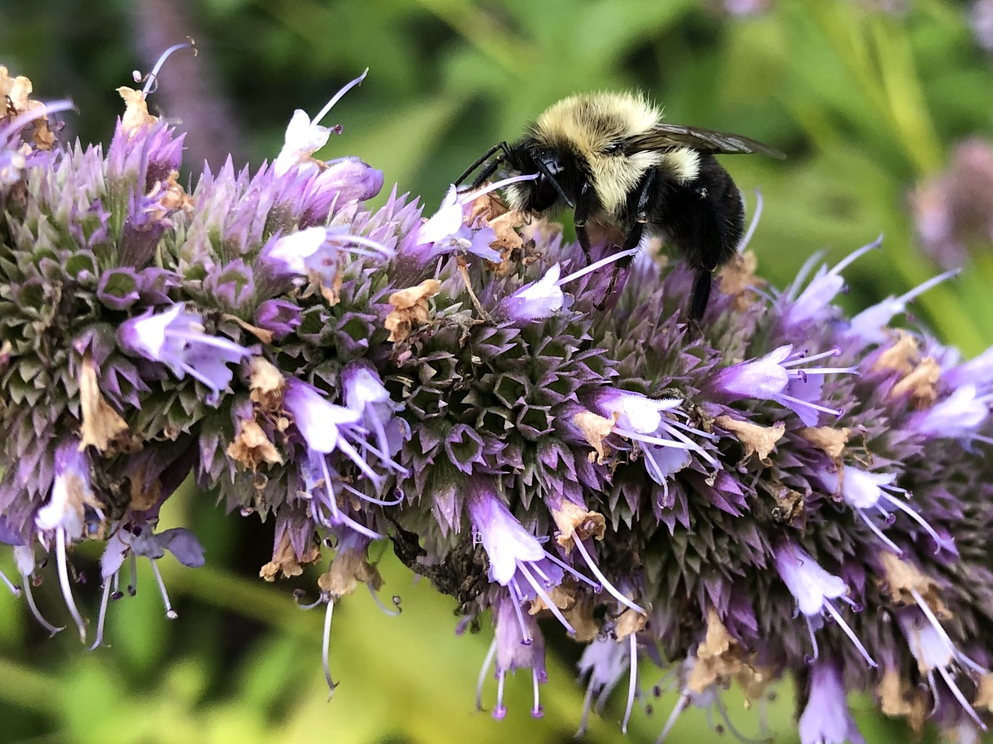 Bumblebee on Hyssop on September 22, 2020.