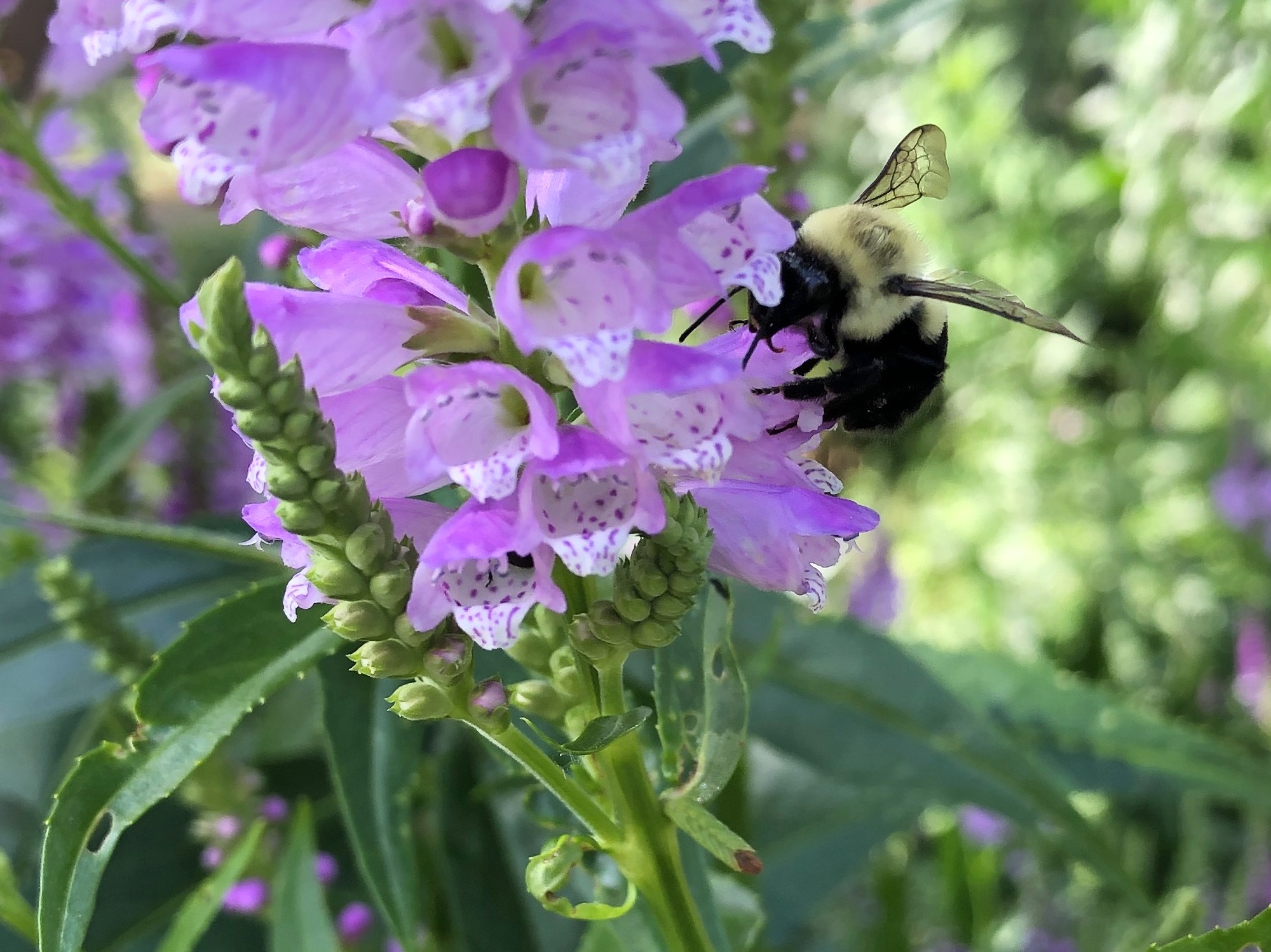 Bumblebee on Obedient Plant on August 2, 2020.