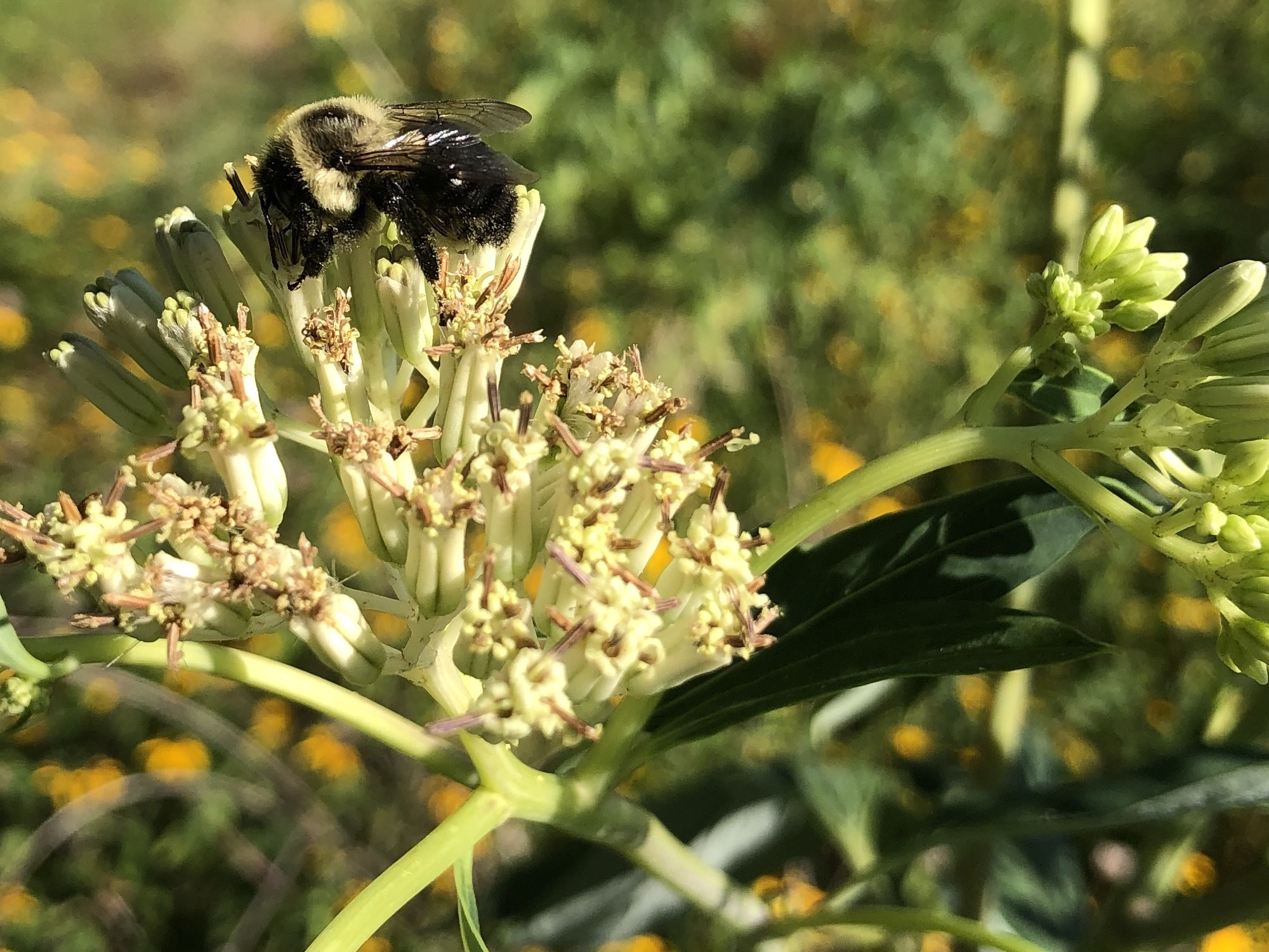 Bumblebee on Indian Plantain on August 14, 2020.