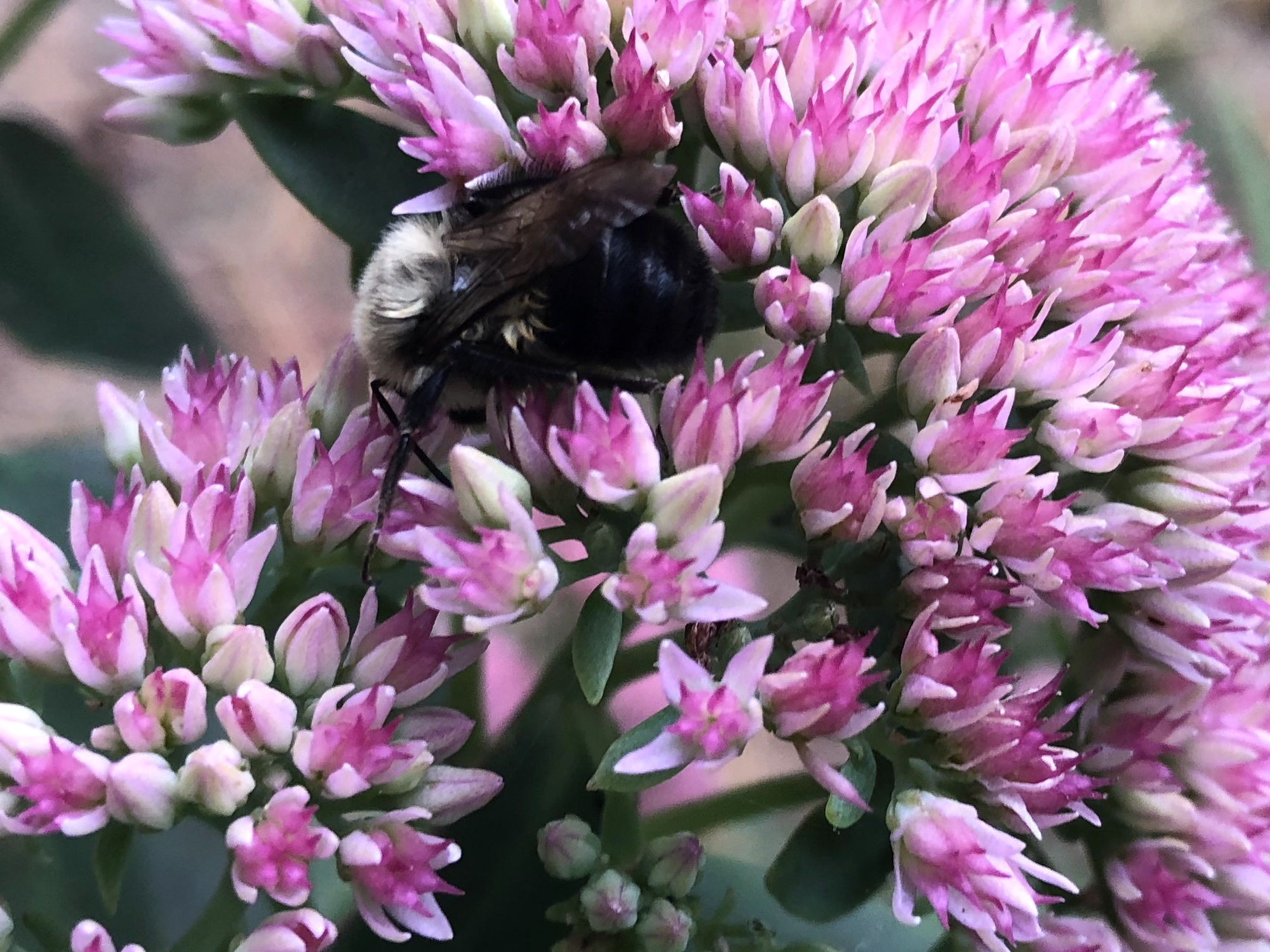 Bumblebee on Sedum on September 27, 2020.