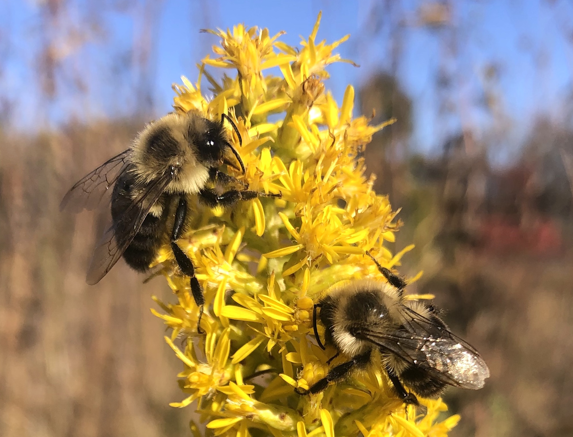 Bumblebees on Showy Goldenrod on October 13, 2020.