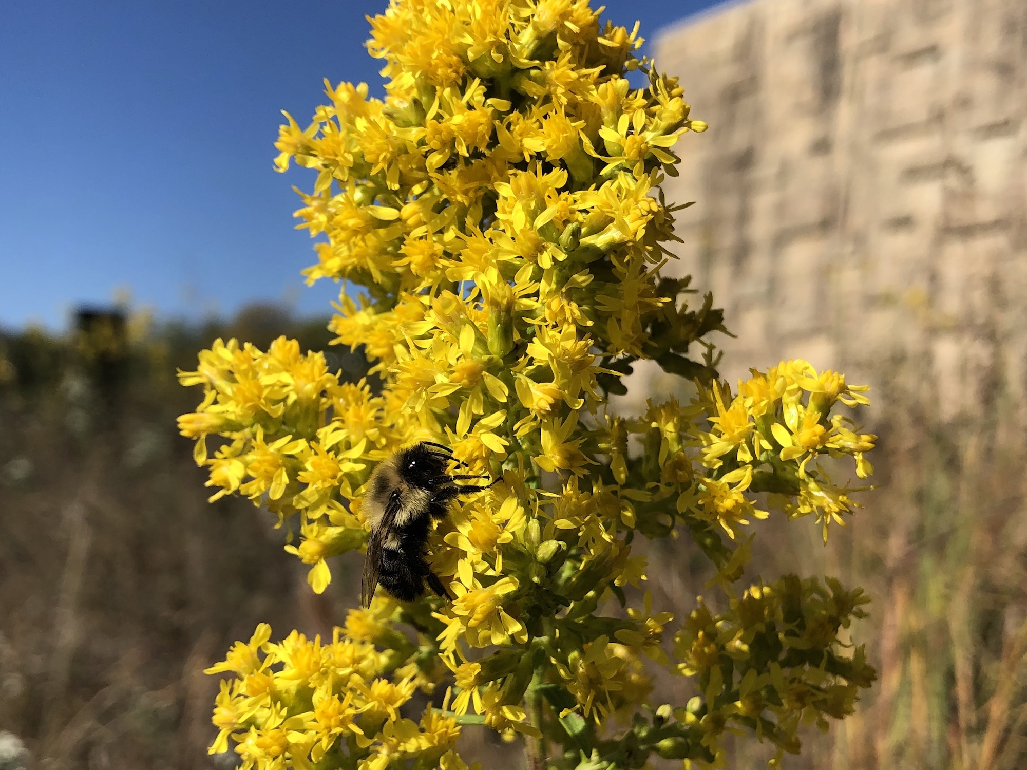 Bumblebee on Showy Goldenrod on October 7, 2020.