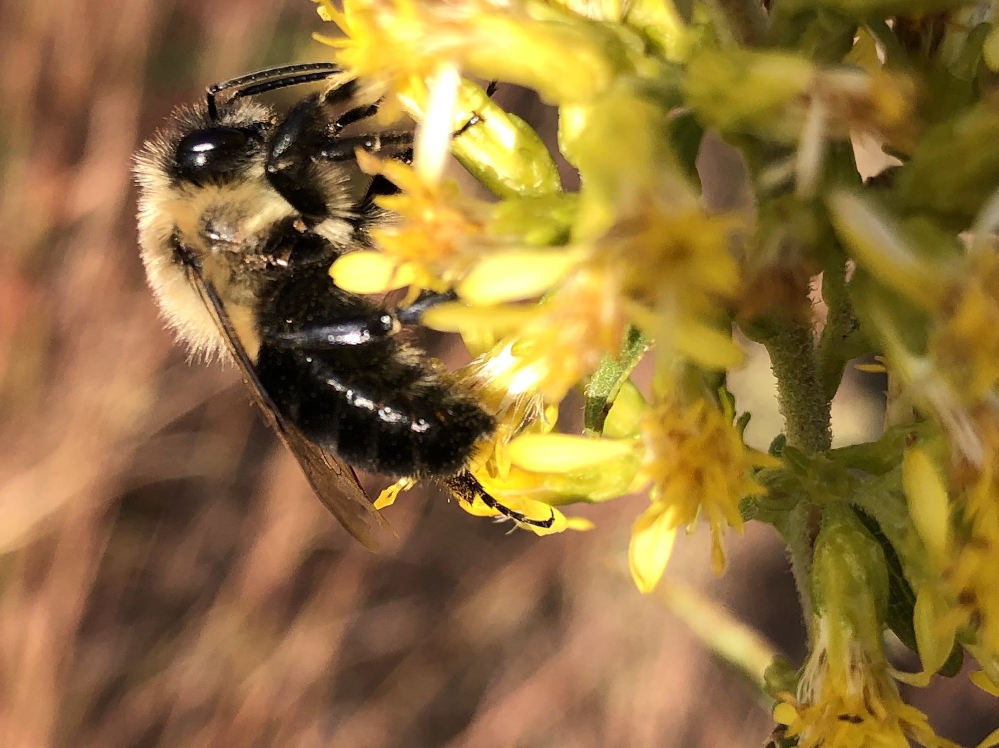 Bumblebee on Showy Goldenrod on October 21, 2020.