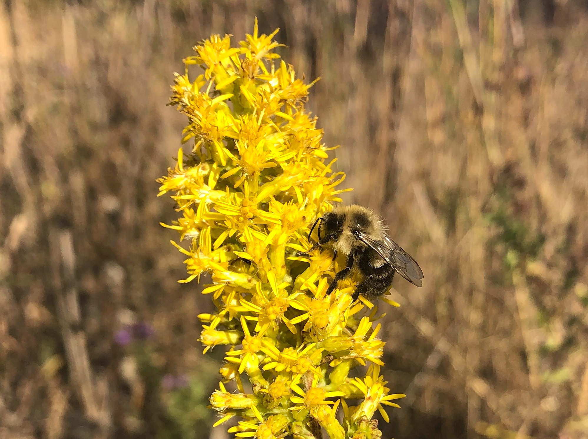 Bumblebee on Showy Goldenrod on October 13, 2020.