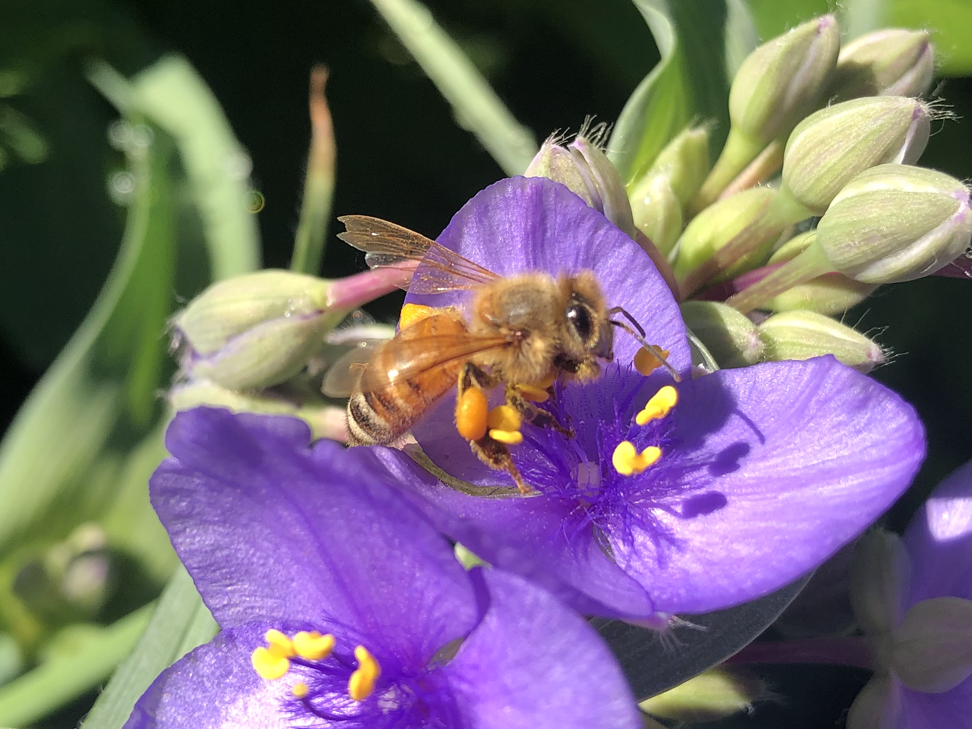 Honeybee on Spiderwort on June 11, 2020.