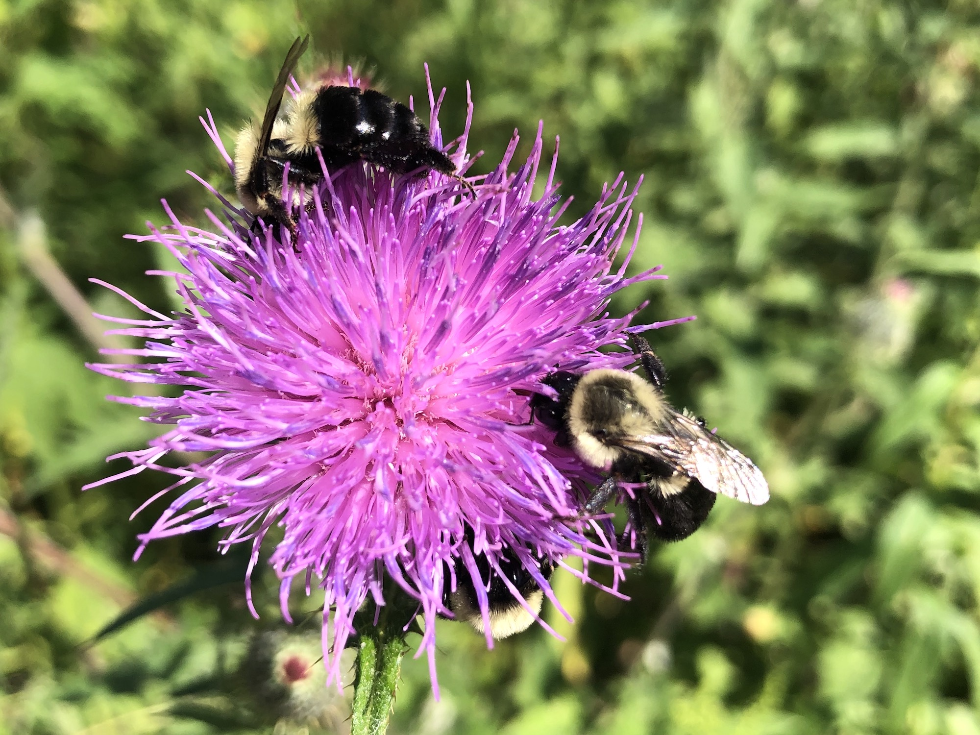 Bumblebees on Thistle on August 14, 2020.