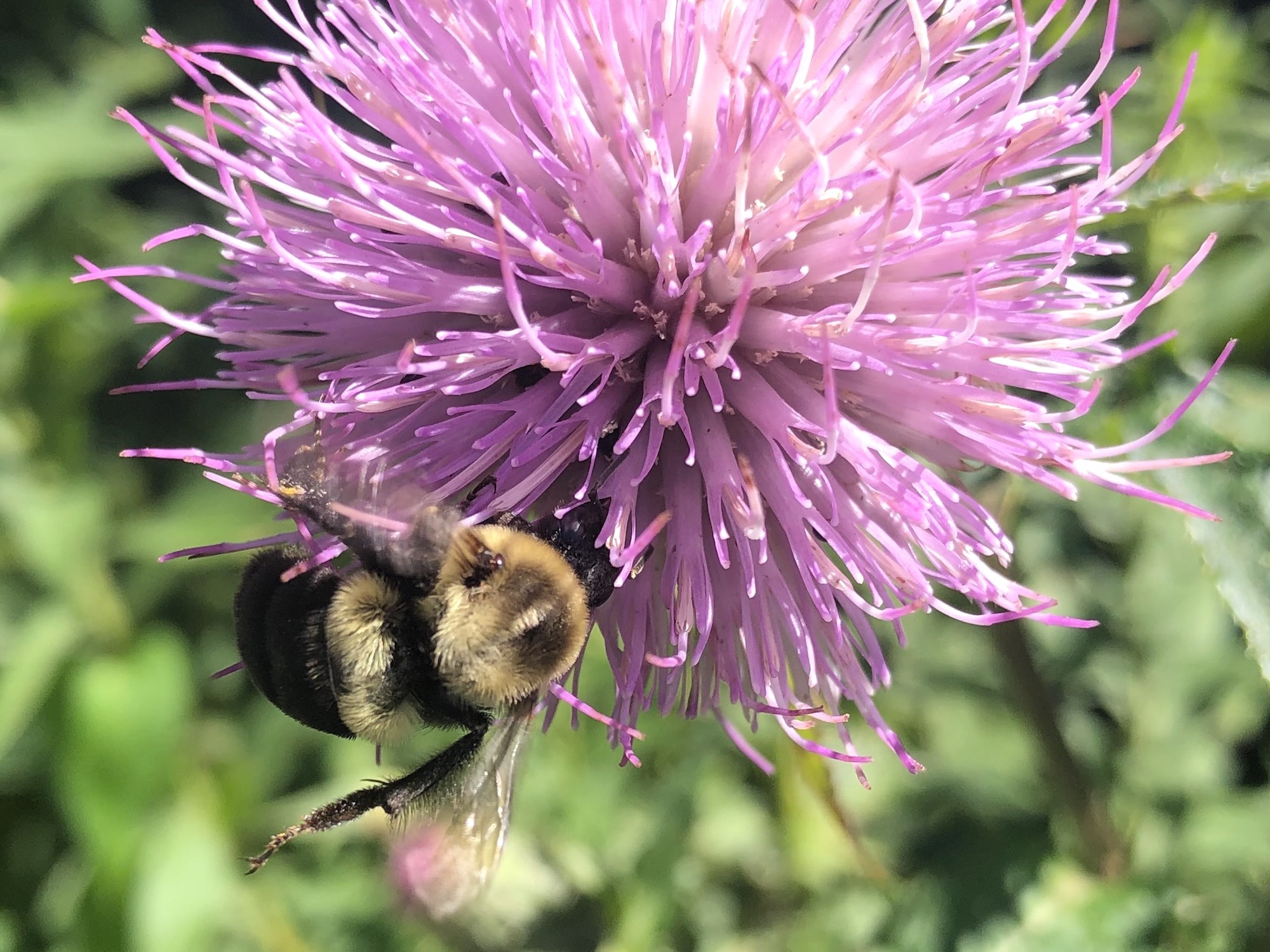 Bumblebee on Thistle on August 11, 2020.