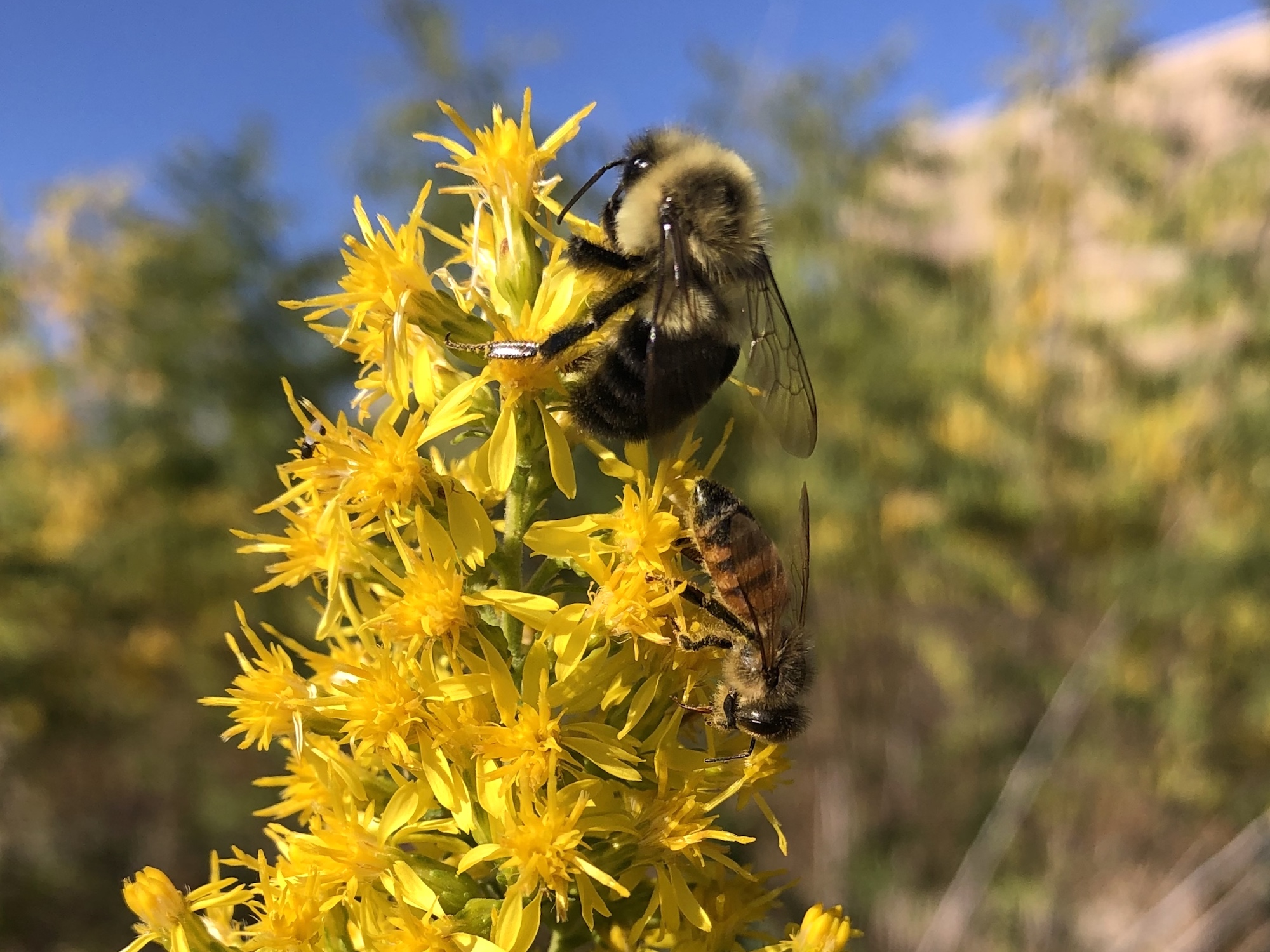 Bumblebee and Honeybee on Showy Goldenrod on October 7, 2020.