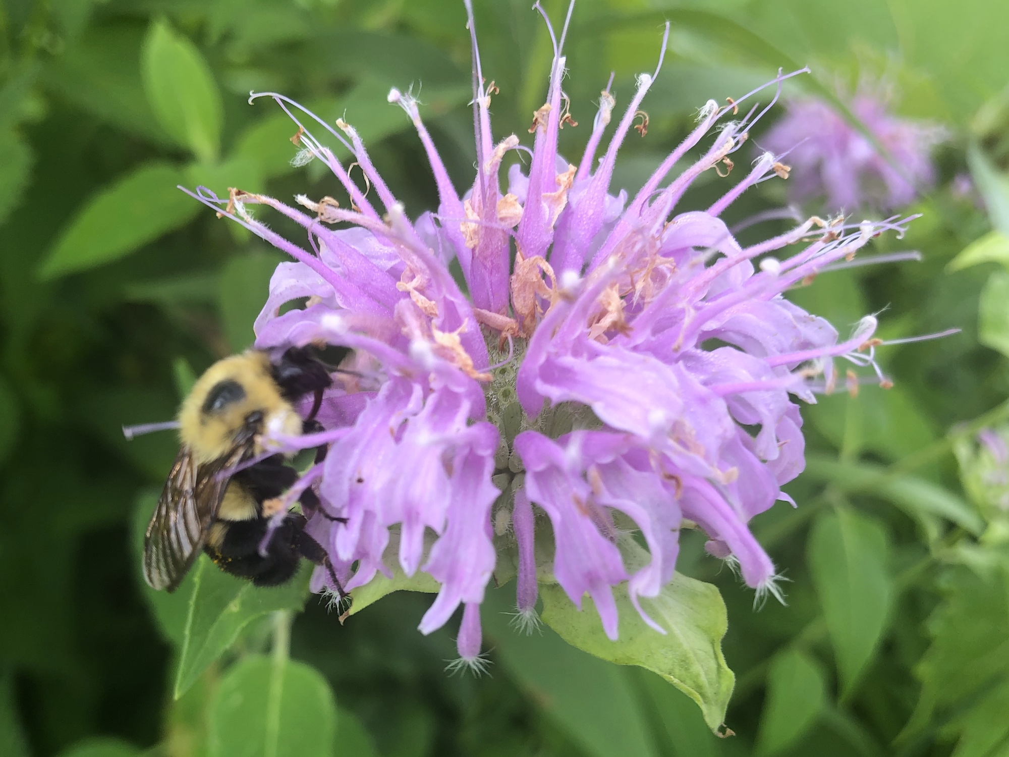 Bumblebee on Bergamot on July 9, 2020.
