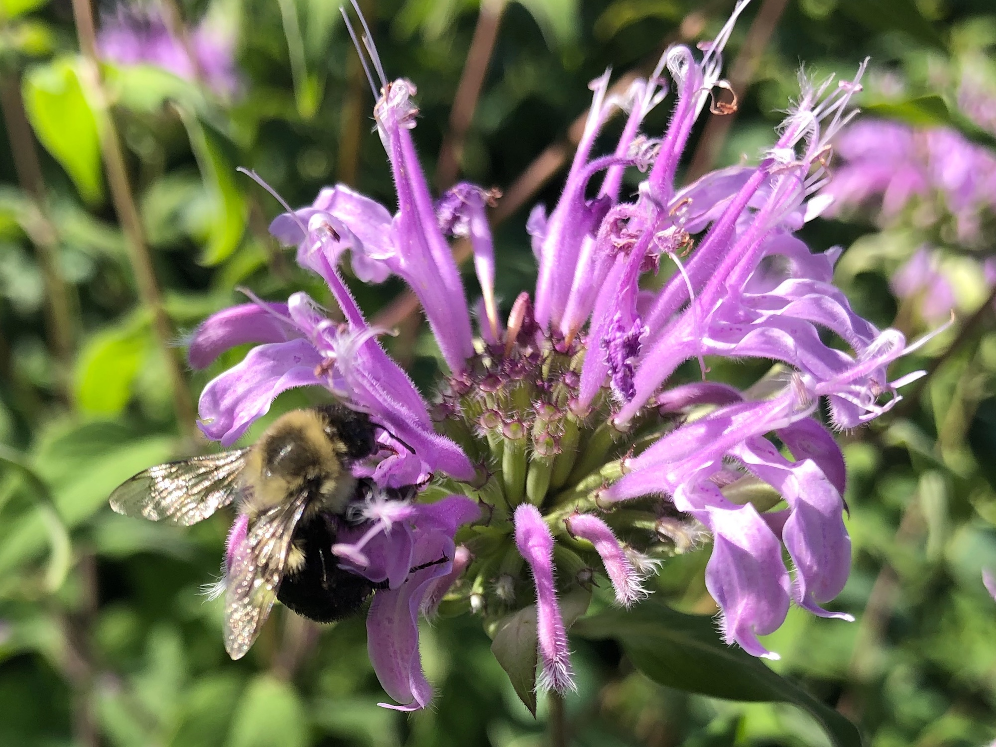 Bumblebee on Bergamot on July 30, 2019.