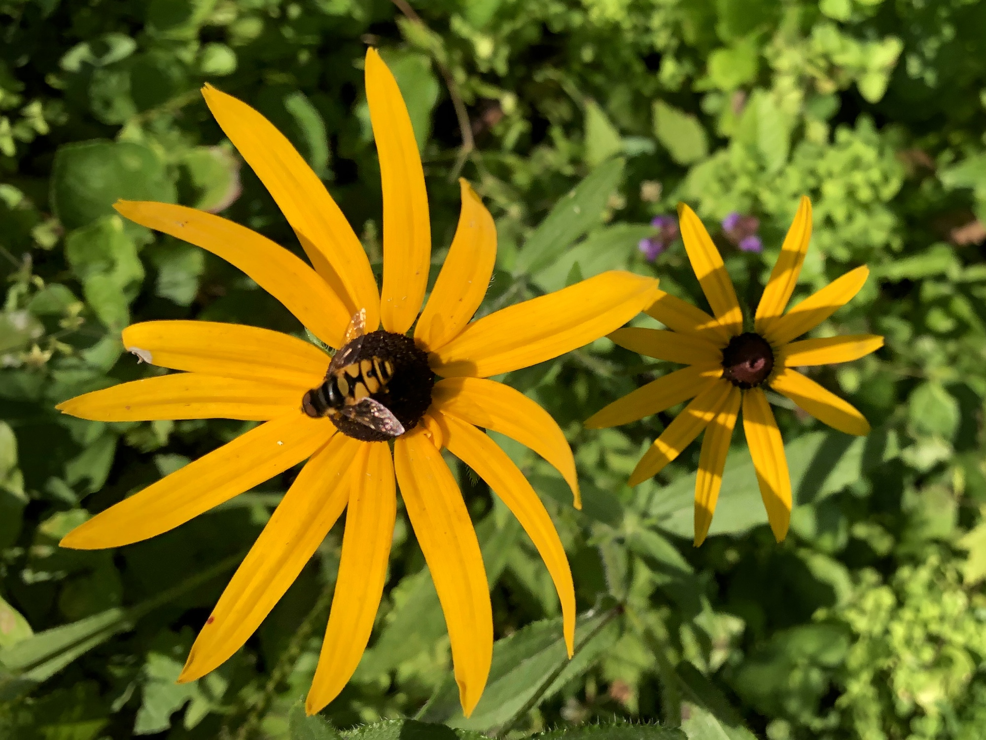 Hoverfly that mimics a bee on Black-eyed Susan on July 31, 2020.