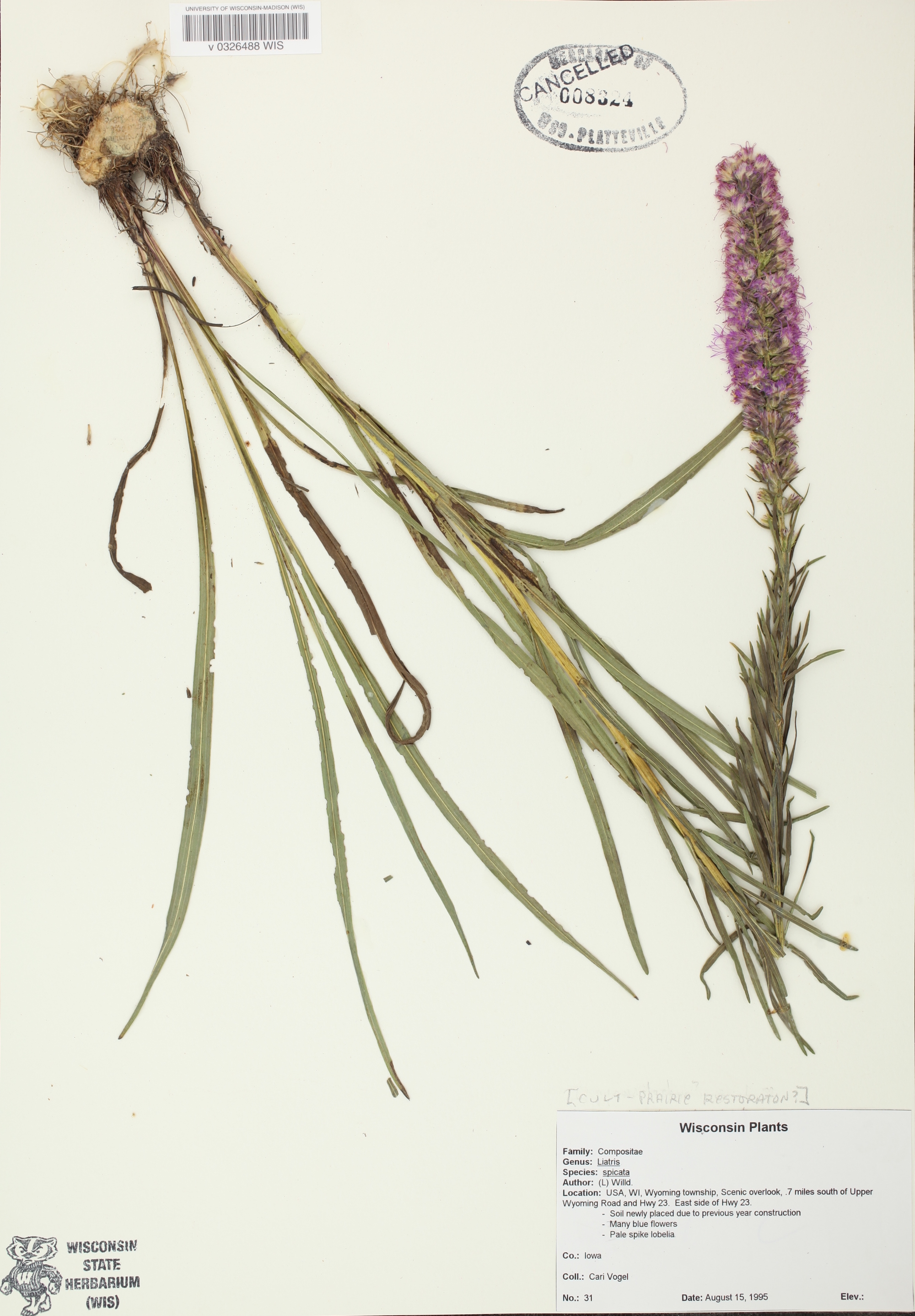 Dense Blazing Star specimen collected in Wyoming County on a senic overlook on Hwy 23 on August 15, 1995.