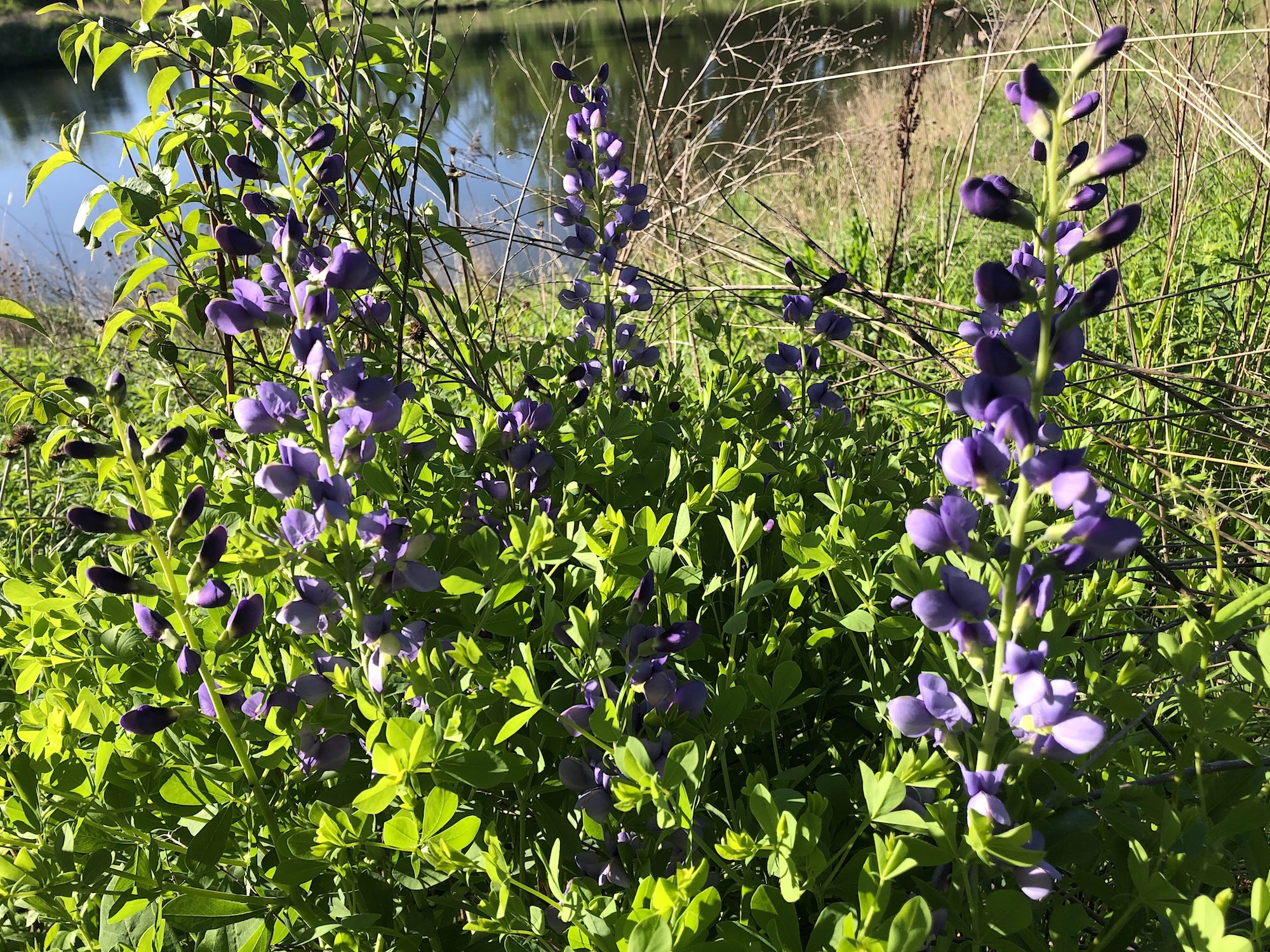 Blue False Indigo on the banks of the retaining pond on the corner of Nakoma Road and Manitou Way on May 30, 2020.